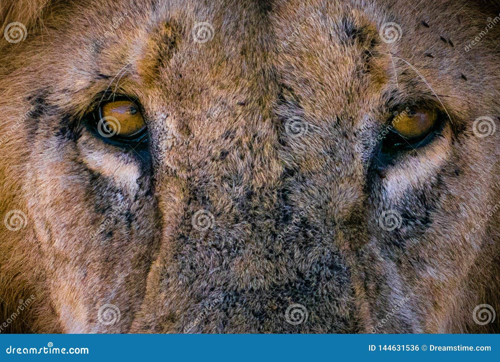 El león le mira