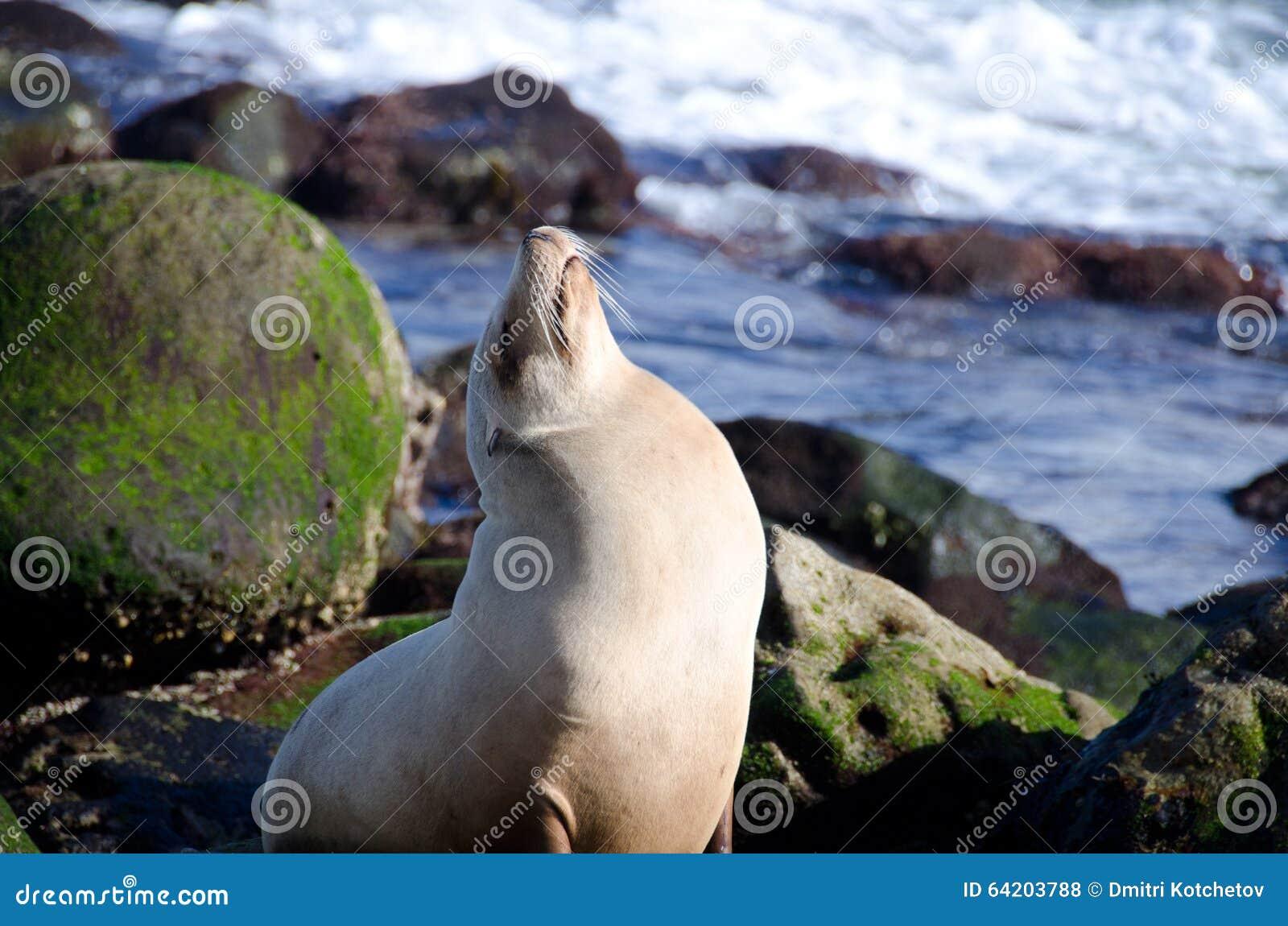 El león marino que sueña despierto toma cerca del punto La Jolla