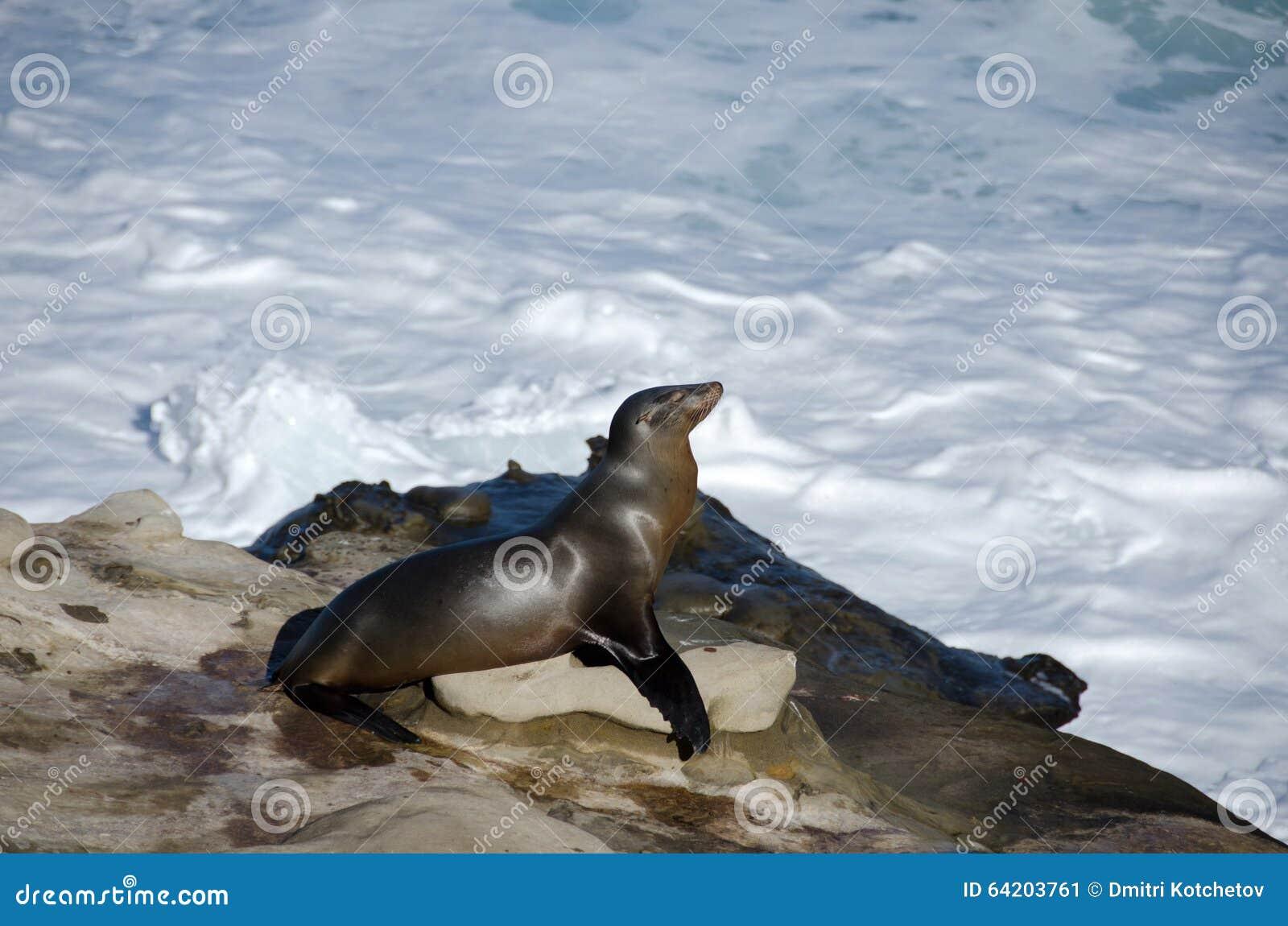 El león marino toma un baño del sol cerca de la ensenada de La Jolla