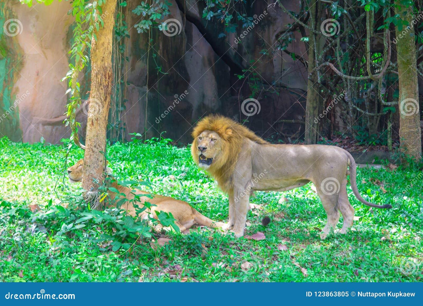 El león miente debajo del árbol