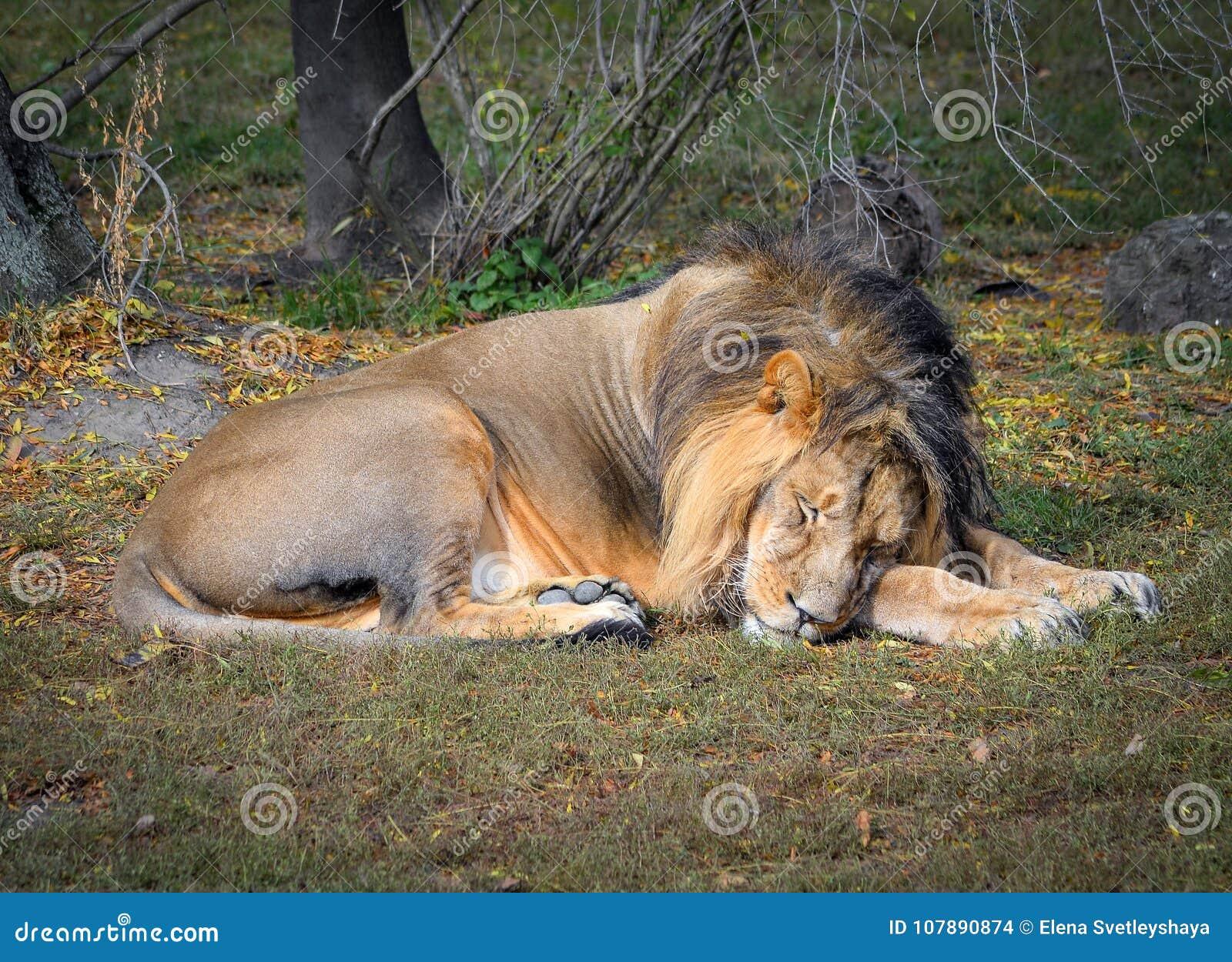 El león soñoliento en el parque zoológico León en fondo natural