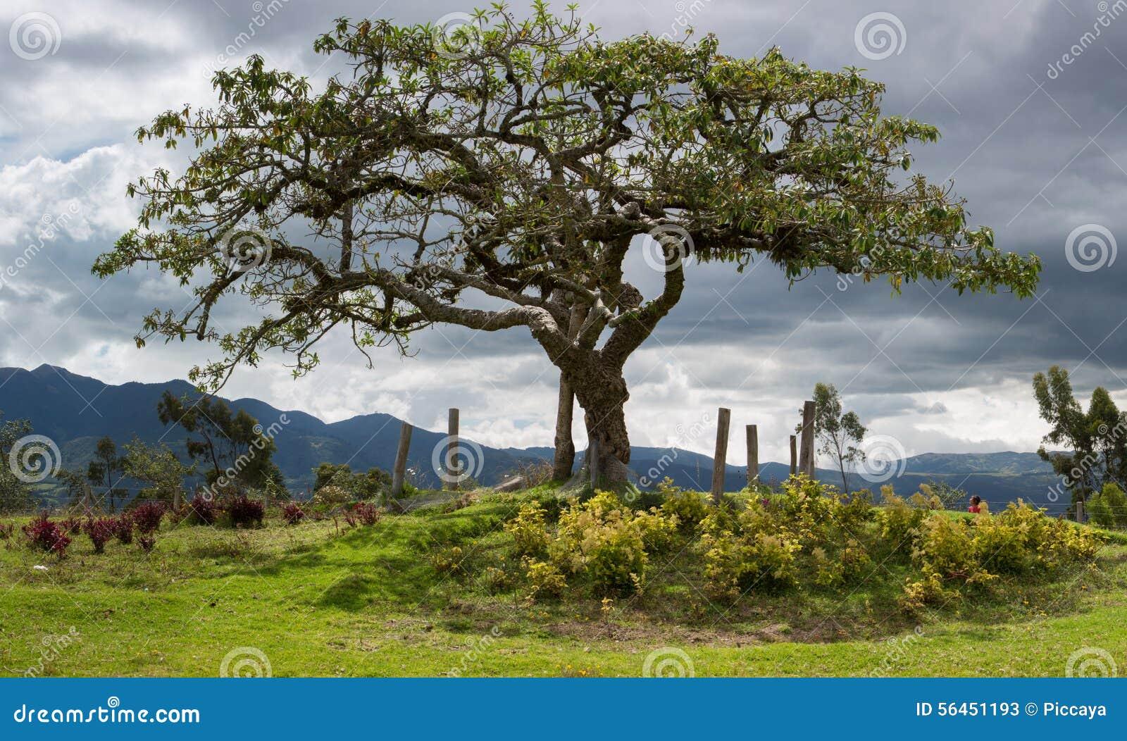 EL Lechero, el árbol sagrado de Otavalo