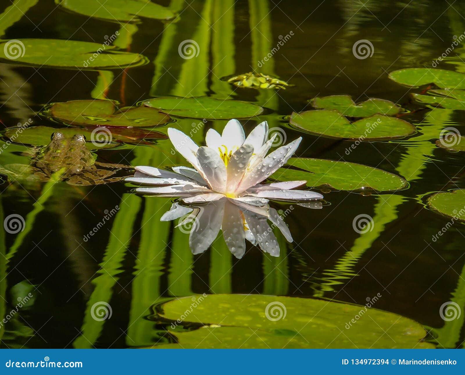 El lirio de agua blanca o la flor de loto hermoso Marliacea Rosea se refleja en el espejo negro de la charca con reflexiones del