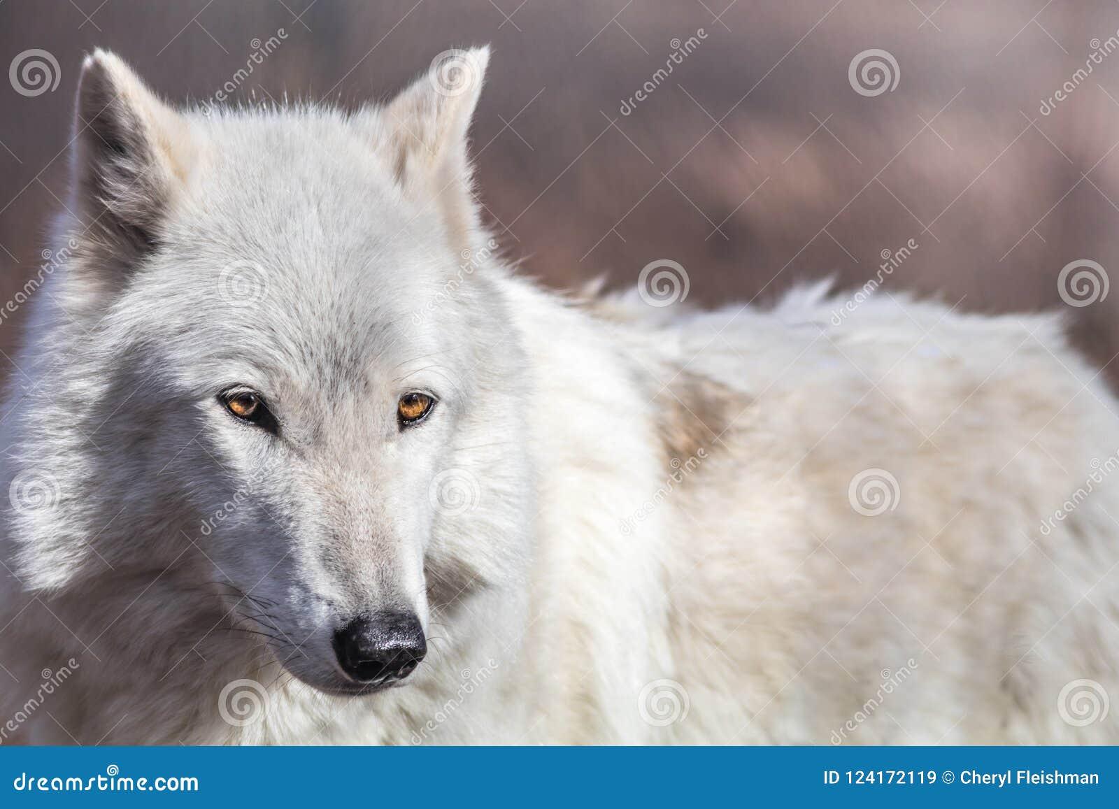 El Lobo ártico Blanco Tiene Ojos De Oro Hermosos Imagen De Archivo