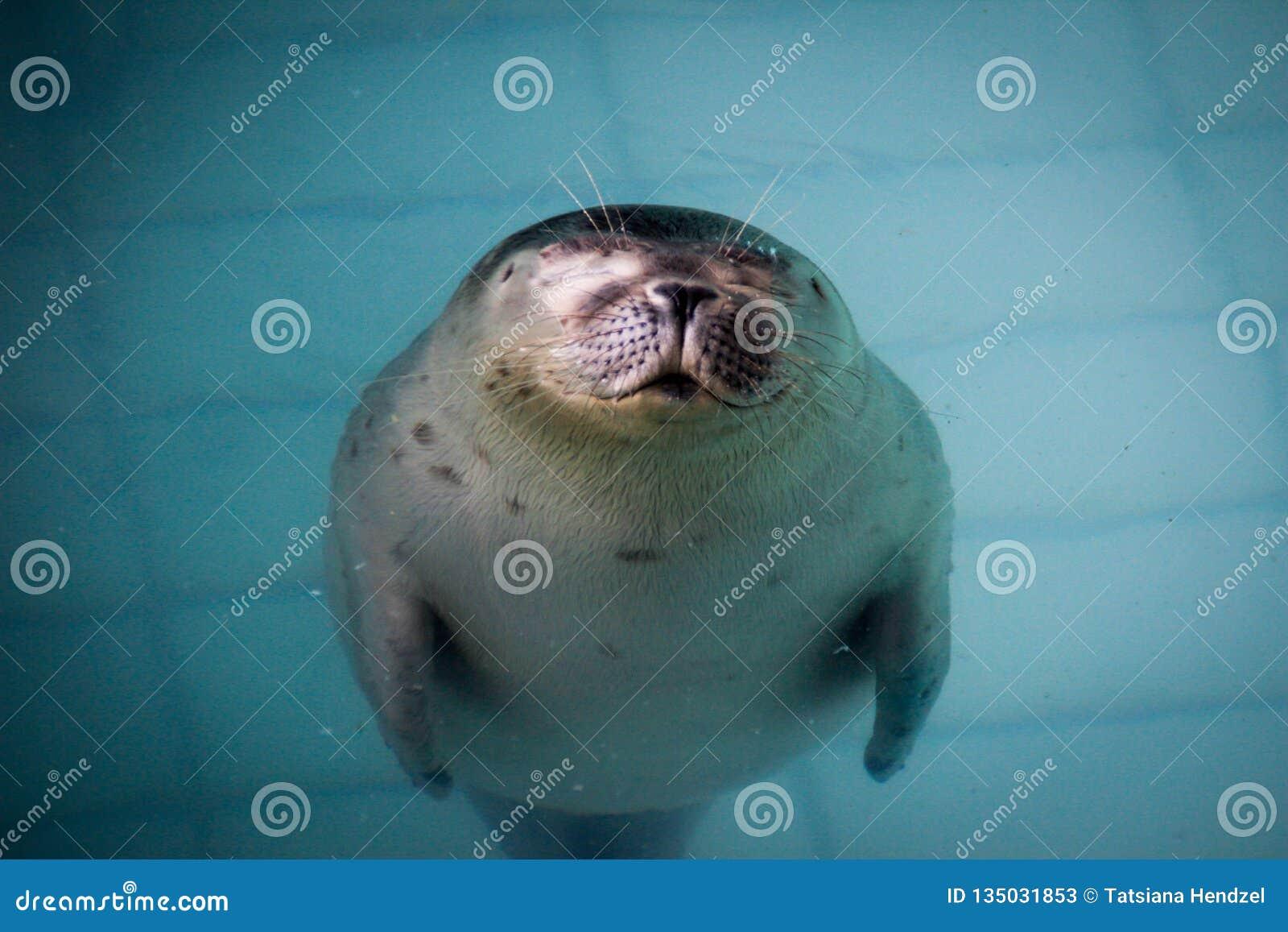 El lobo marino gordo lindo y perezoso descansa en la piscina de la turquesa