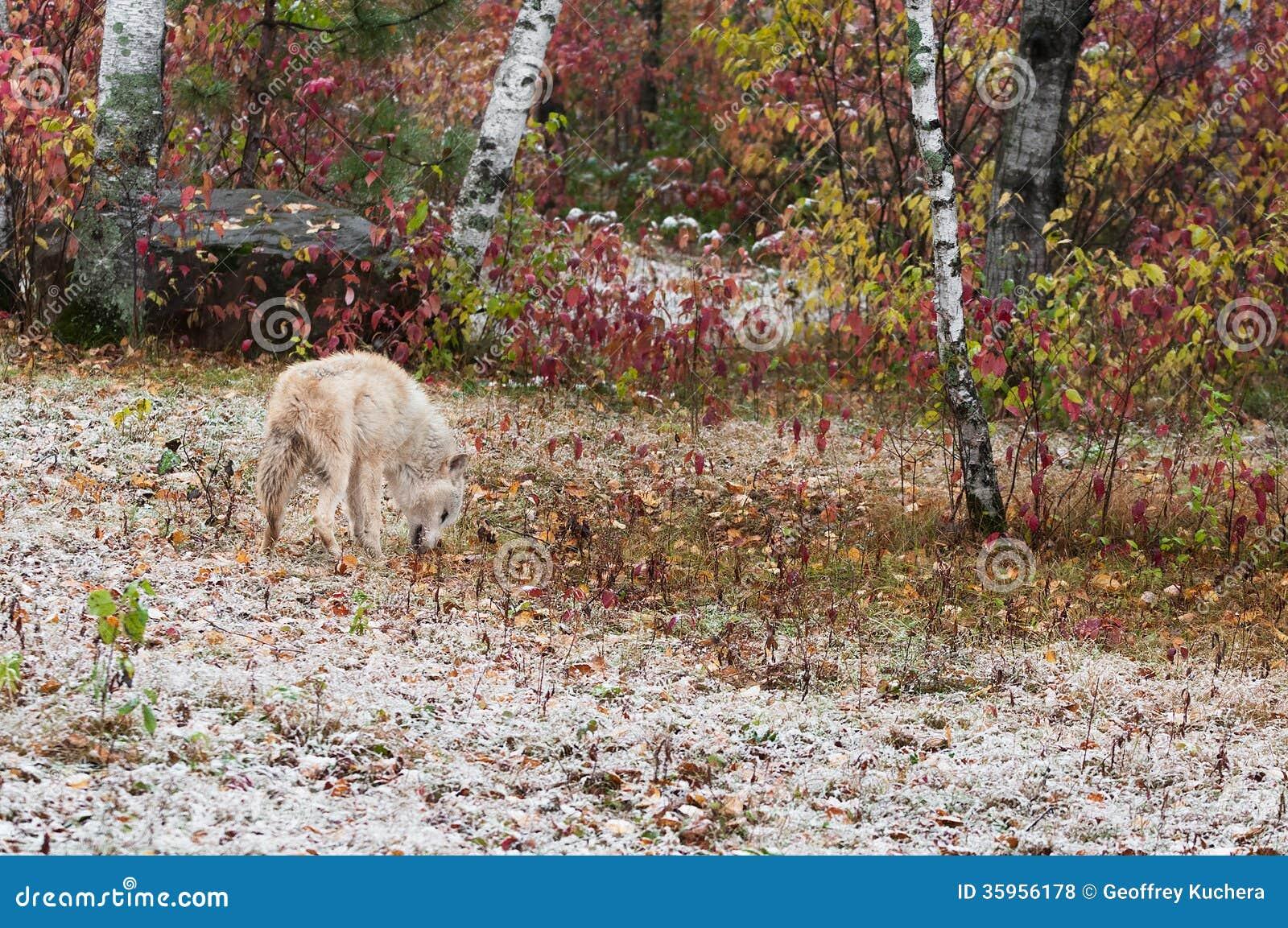El lobo rubio (lupus de Canis) mezcla en el ambiente