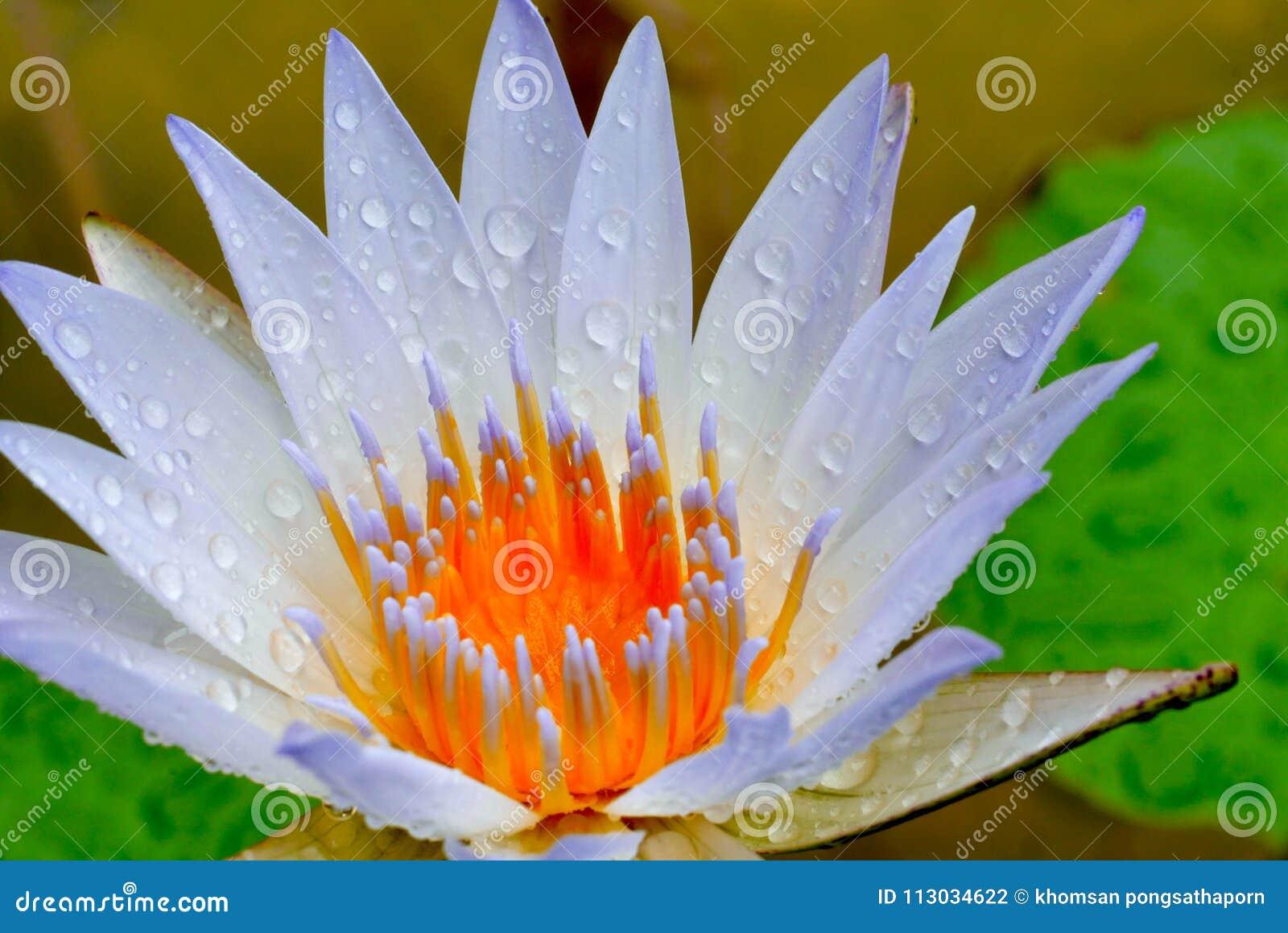 El loto floreció otra vez después de recibir el agua de lluvia, que estornudan naturalmente El resultado es hermoso otra vez