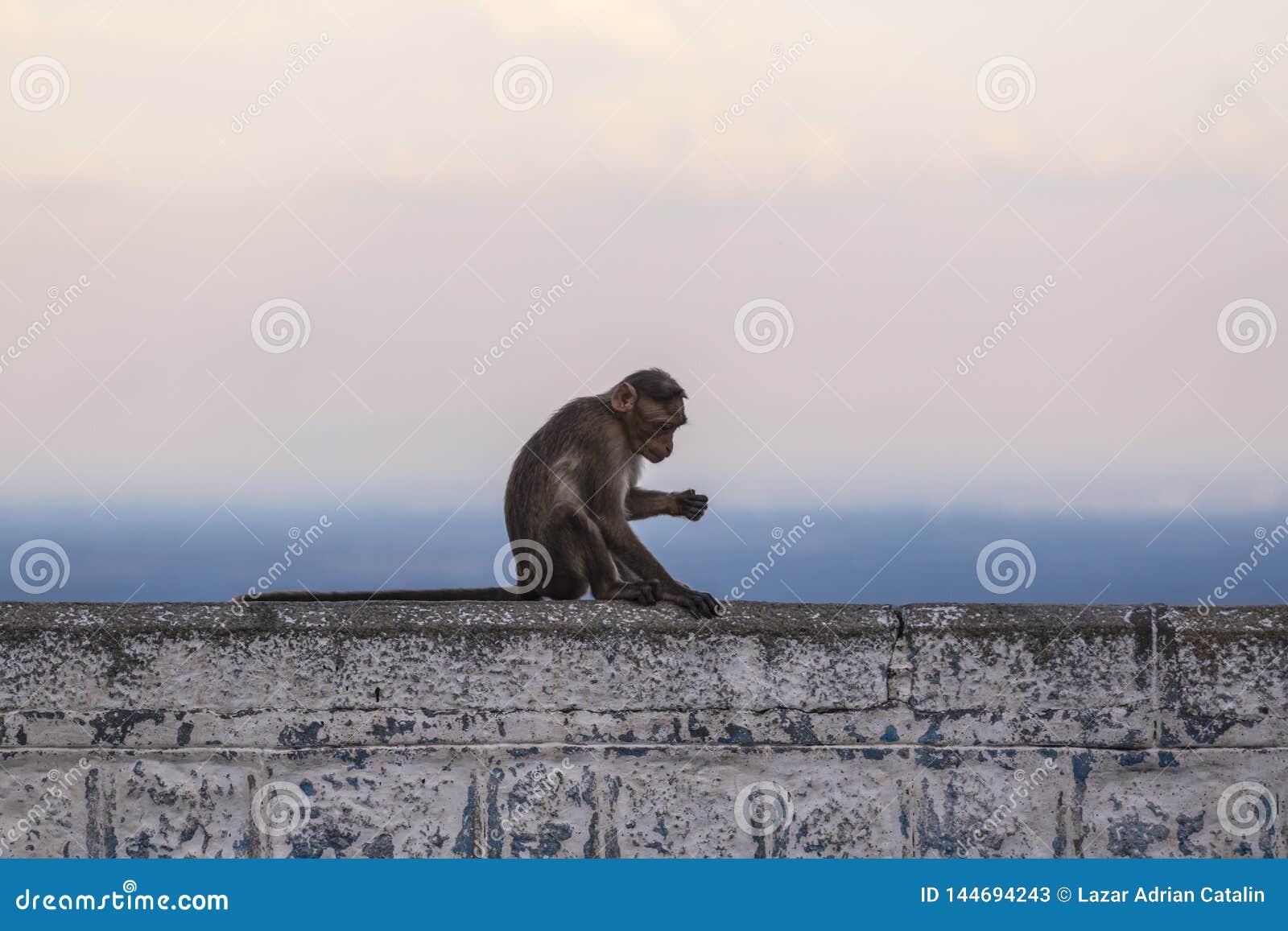 El macaque de capo, la India