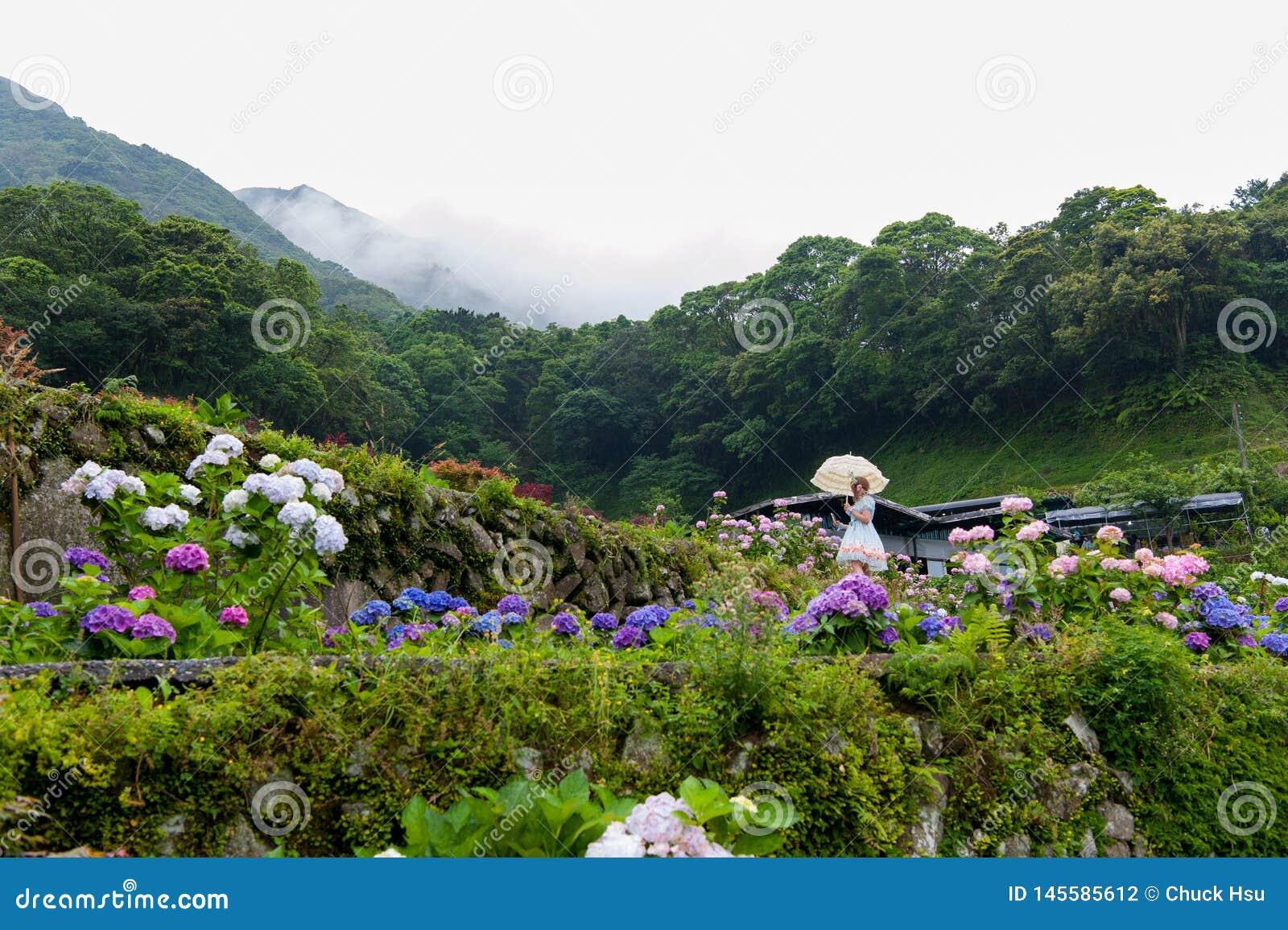 El macrophylla de la hortensia de las flores o la flor hermoso del Hortensia est? floreciendo
