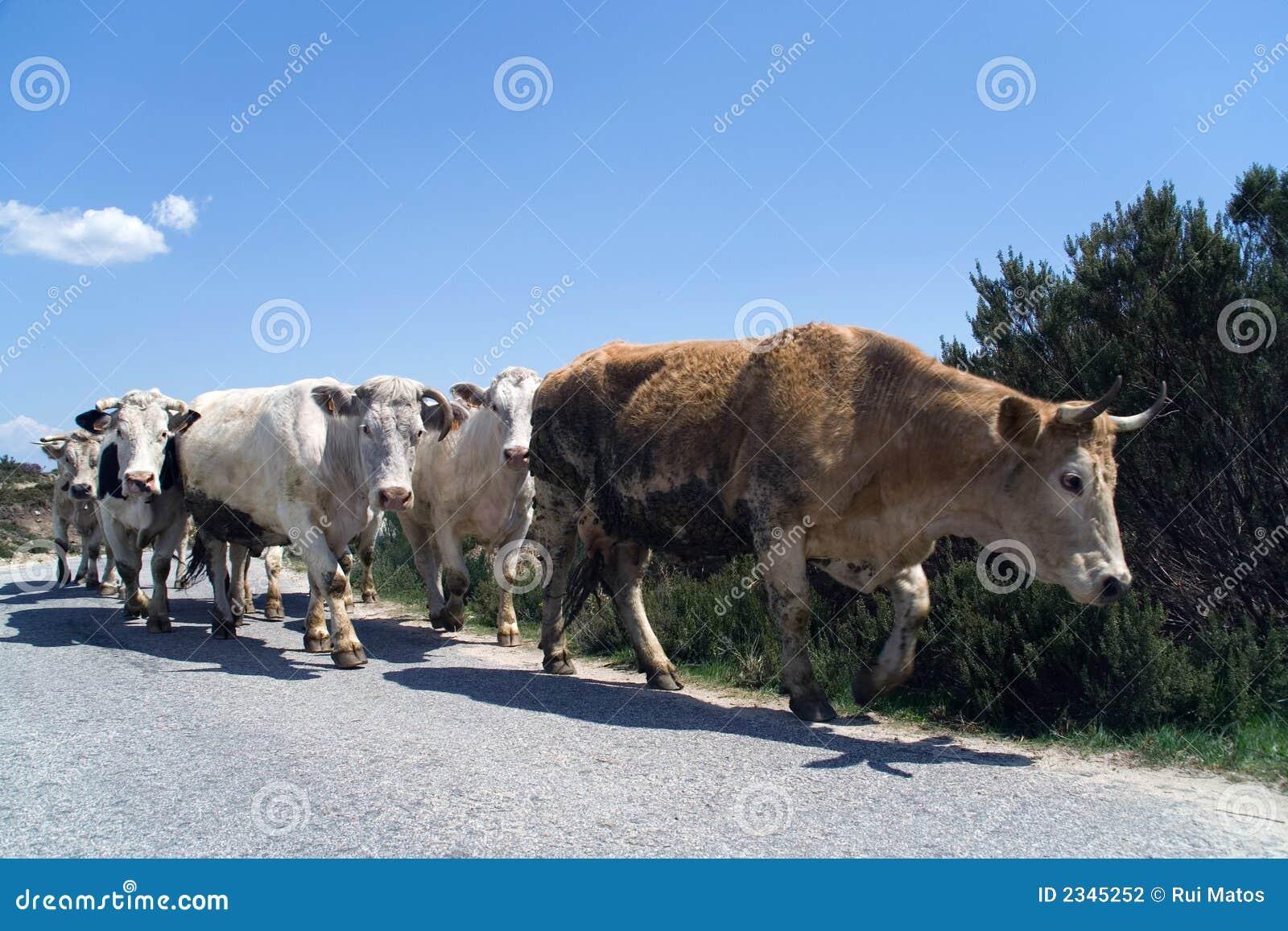 El marchar de las vacas