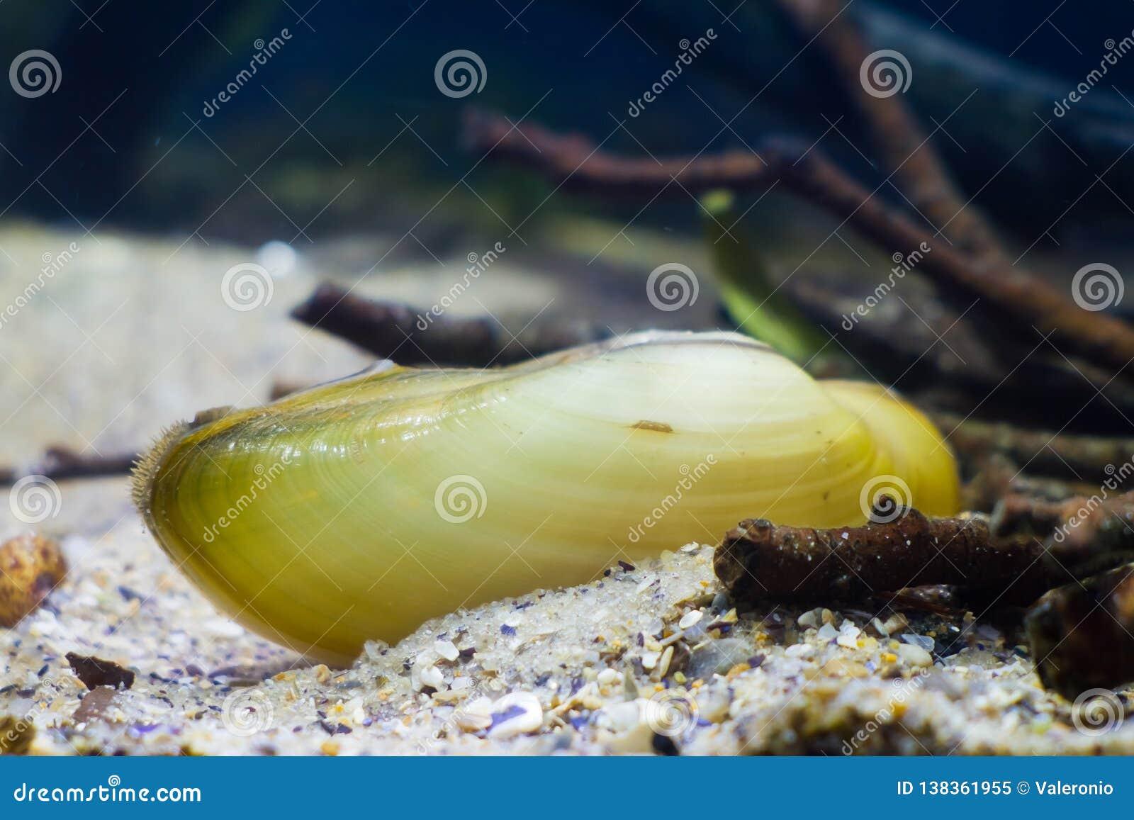 El mejillón del pintor, pictorum del Unio, una especie de mejillón de agua dulce mediano, molusco bivalvo acuático, mejillón del