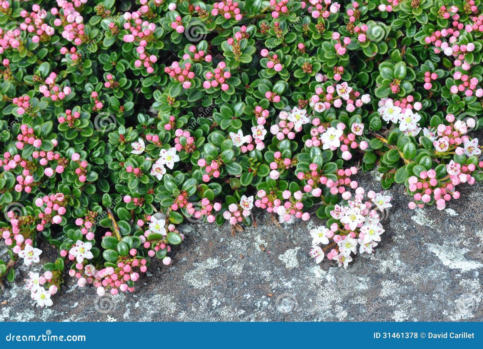 El mirto de arena florece macro del primer