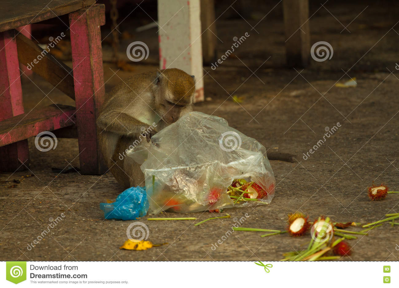 El mono de la fauna steeling la basura, Brunei