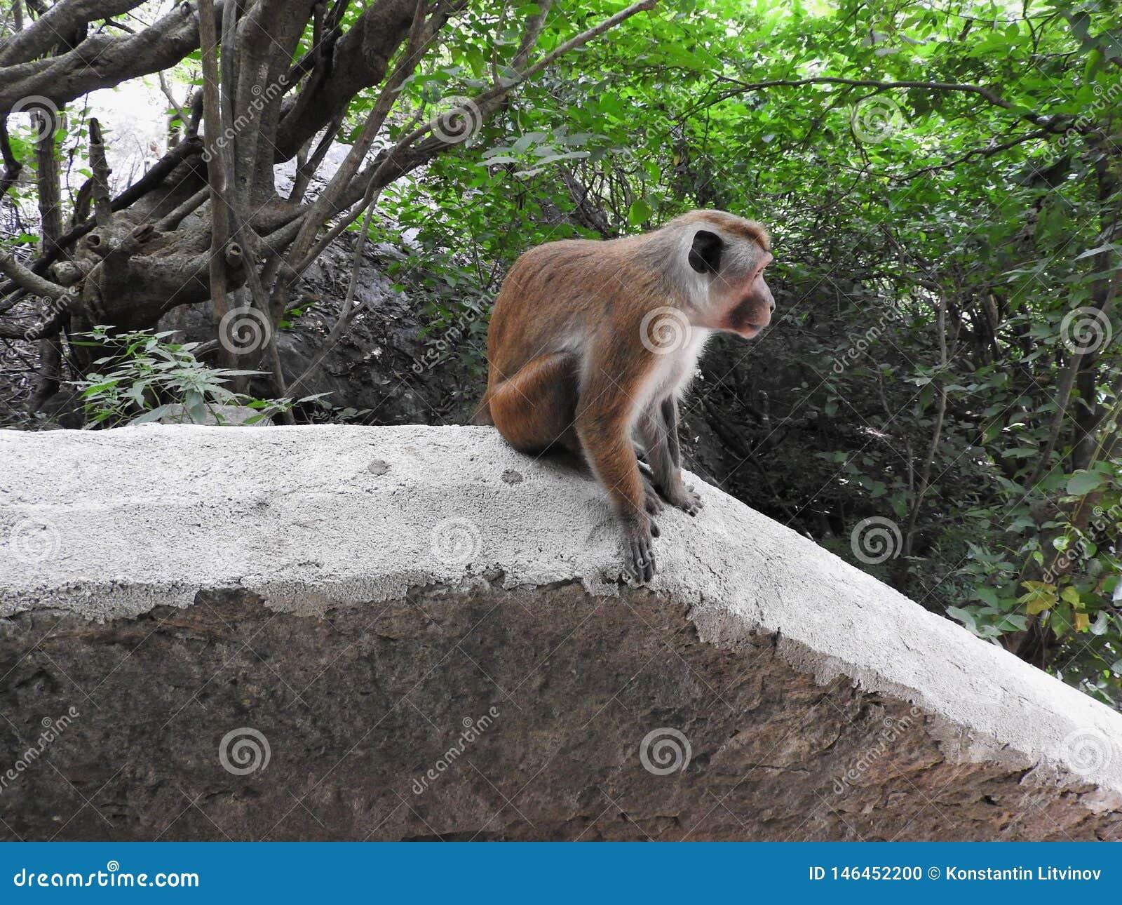 El mono está disfrutando de un día en las cuevas de Dambulla en Sri Lanka