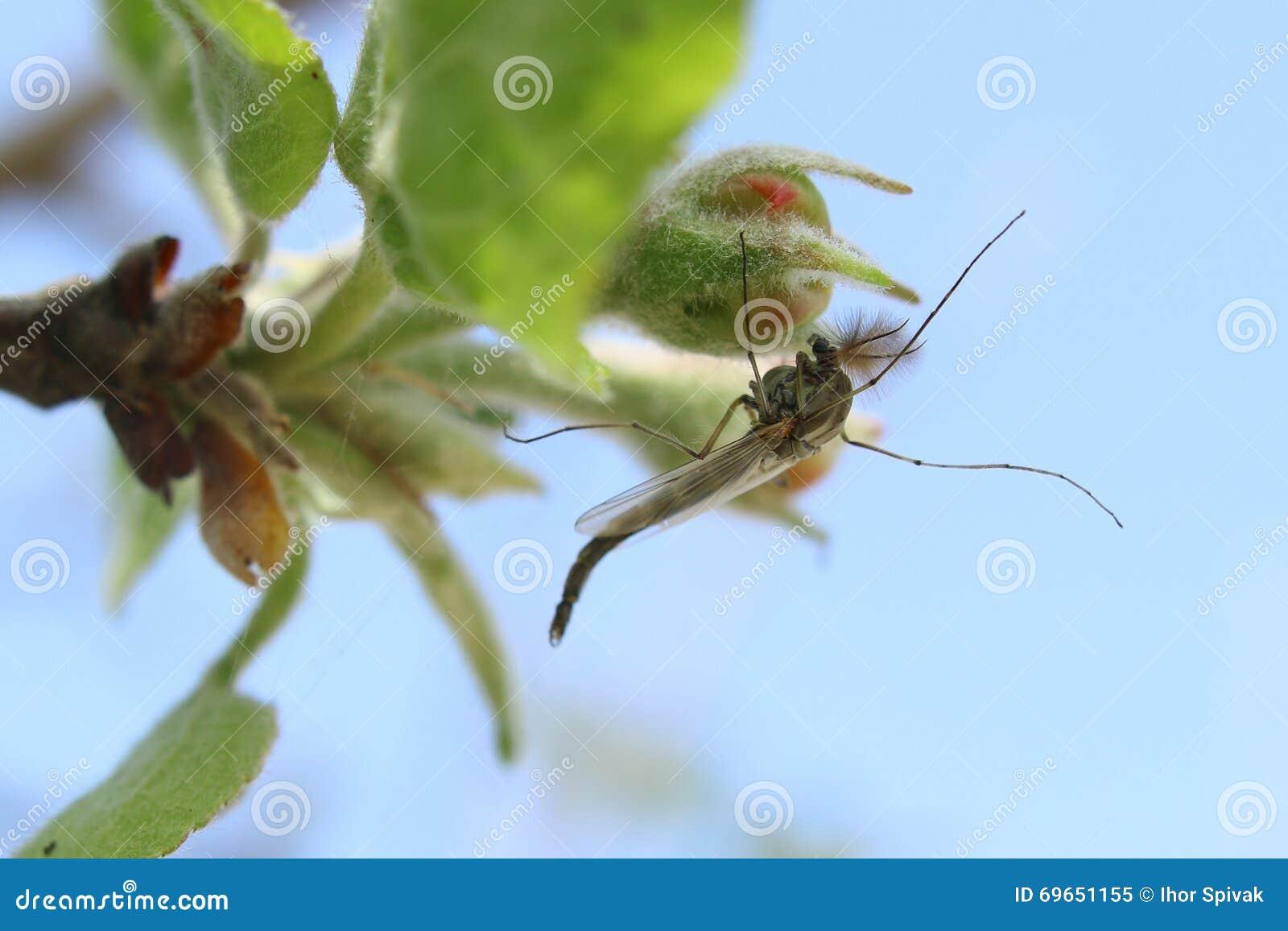 El mosquito se sienta en una flor