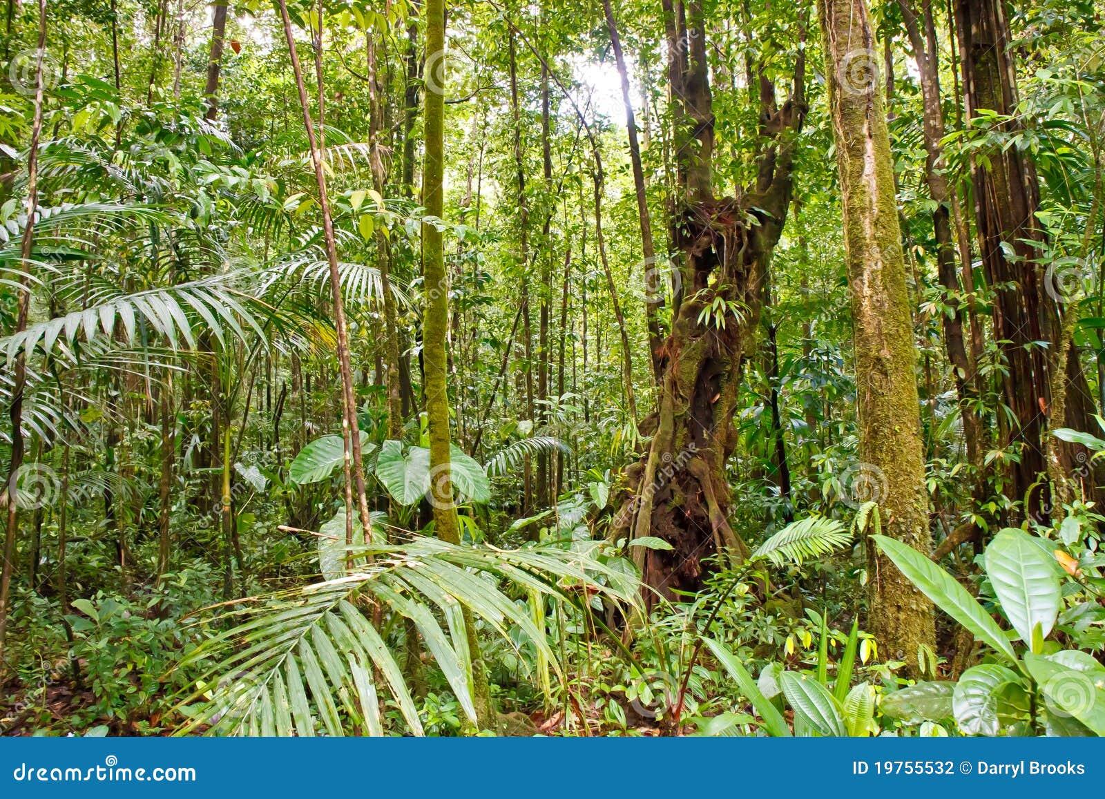 El musgo cubrió árboles en selva tropical