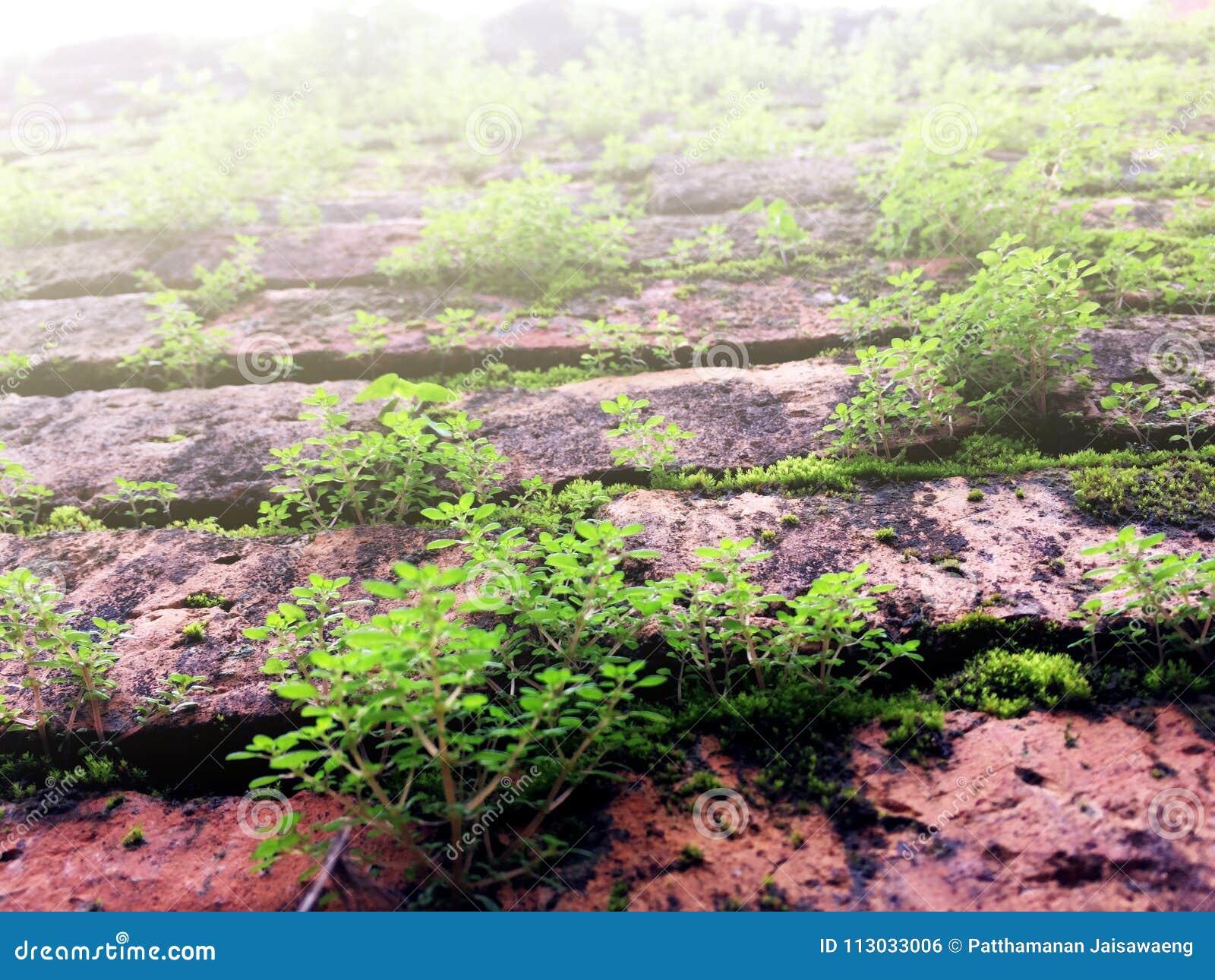 El musgo verde y los pequeños árboles crecen en la pared de ladrillo roja vieja