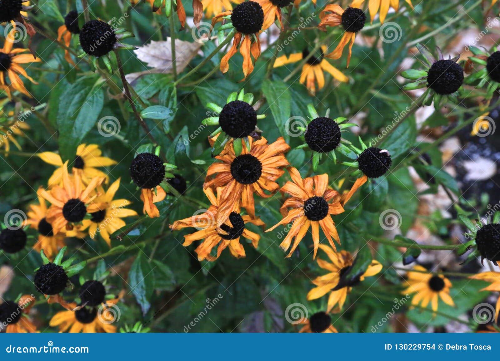 El negro eyed las flores de susan