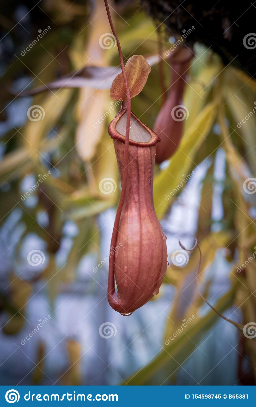 El Nepenthes, come la flor del insecto