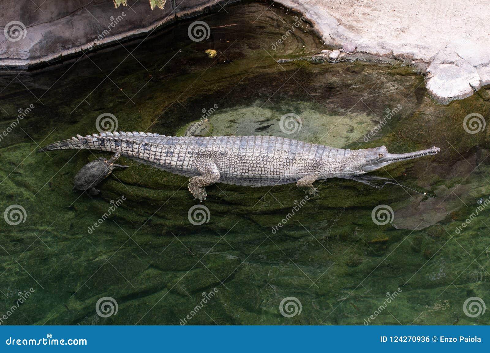 El niloticus del Crocodylus del cocodrilo del Nilo es un cocodrilo africano, situado en el San Diego Zoo en California