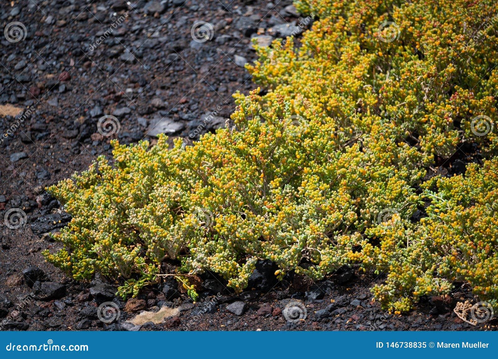 El nombre científico de esta planta es