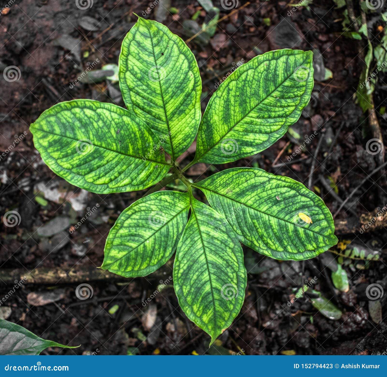 El nombre científico es Arisaema Tortuosum de la variedad del neglectum Hierba o planta común del jardín en etapa vegetativa con