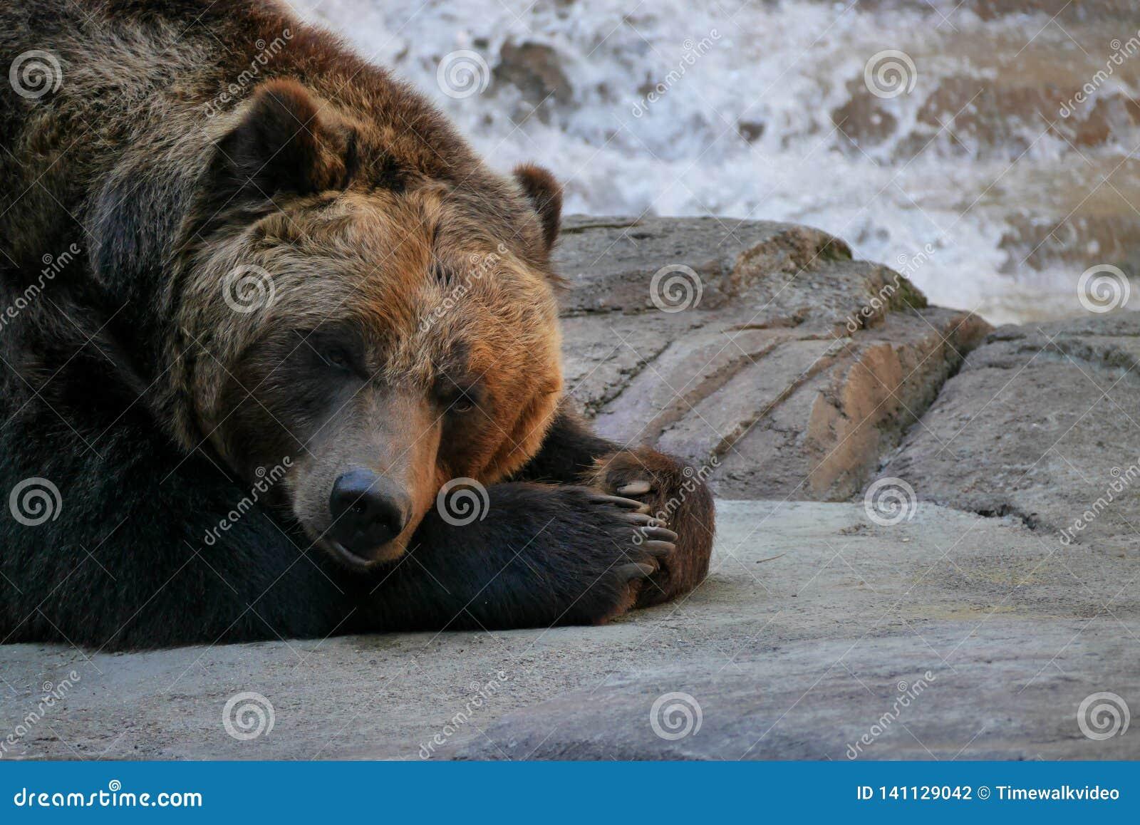 El oso grizzly cansado se acuesta en roca