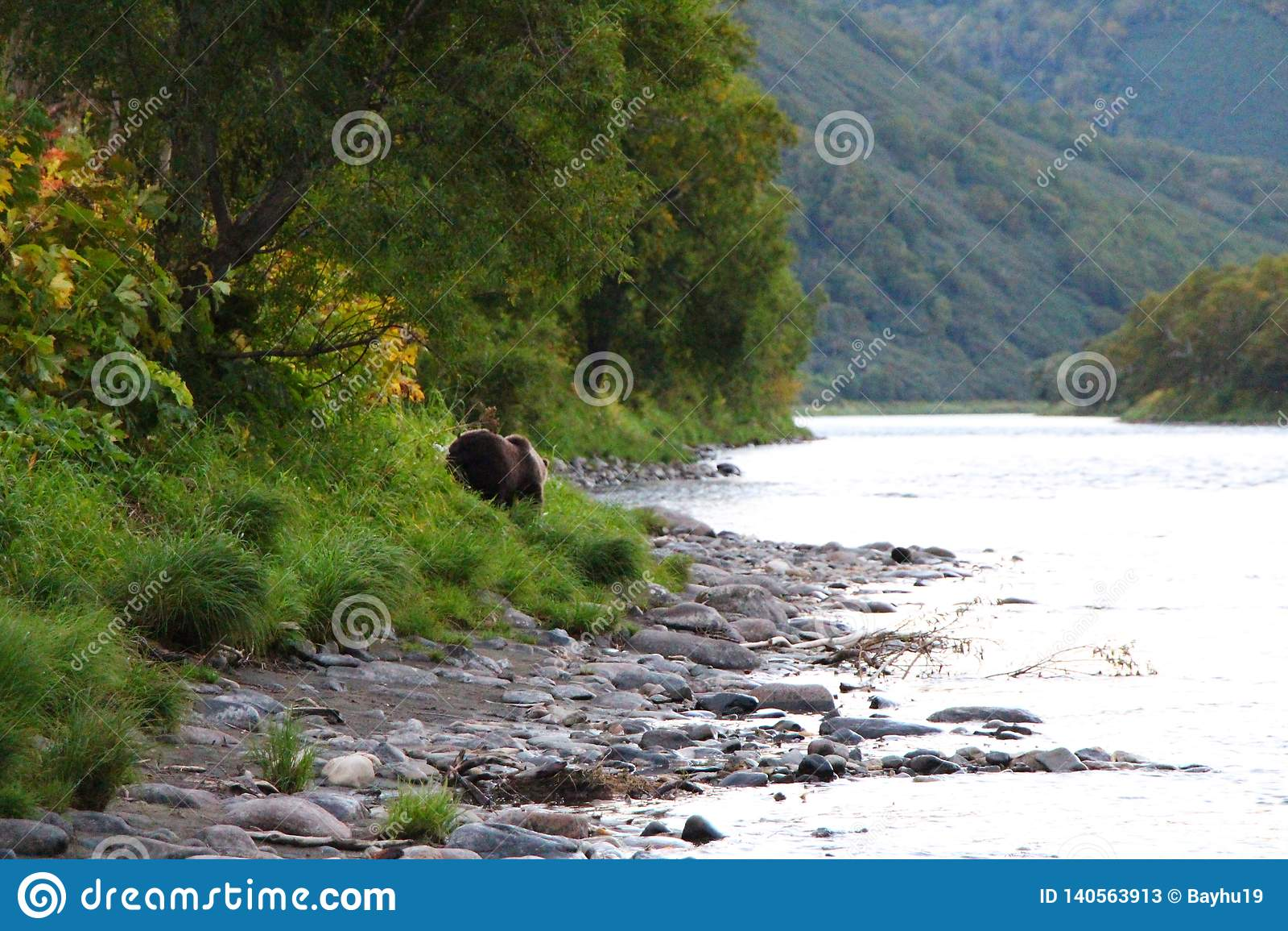 El oso salvaje grande camina por el río