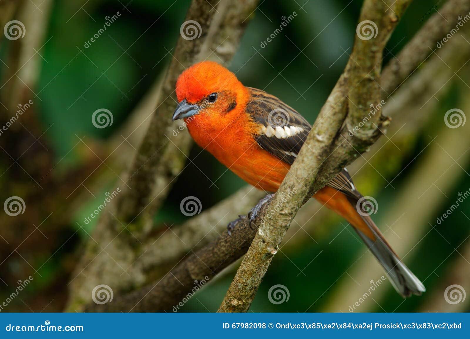El pájaro anaranjado Llama-coloreó el Tanager, bidentata del Piranga, Savegre, Costa Rica