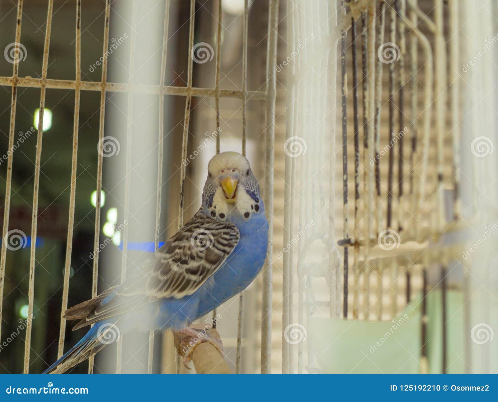 El pájaro azul del budgie en una jaula que aparezca a través de jaula ata