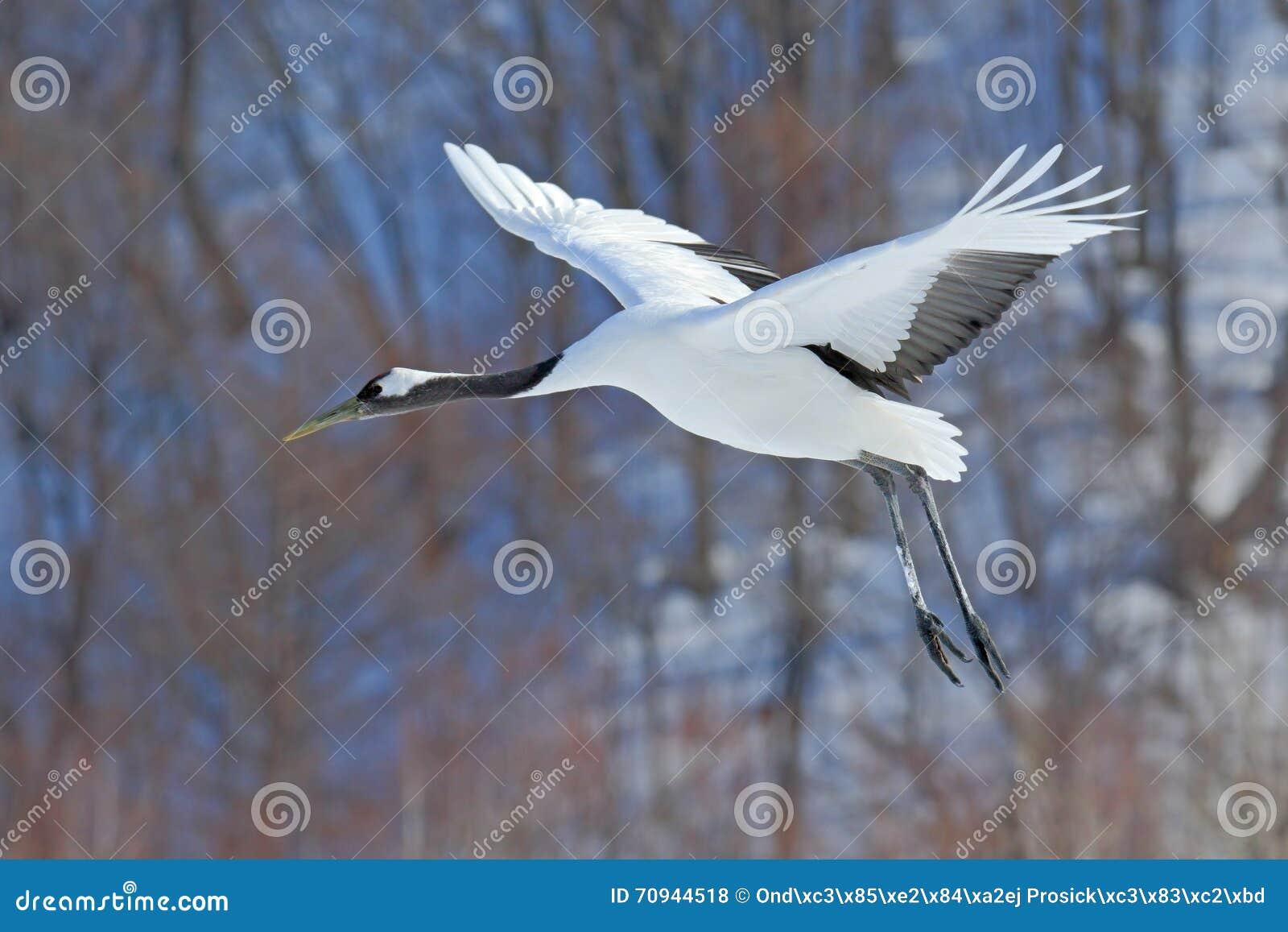 El pájaro blanco que volaba Rojo-coronó la grúa, japonensis del Grus, con el ala abierta, con la tormenta de la nieve, hábitat en