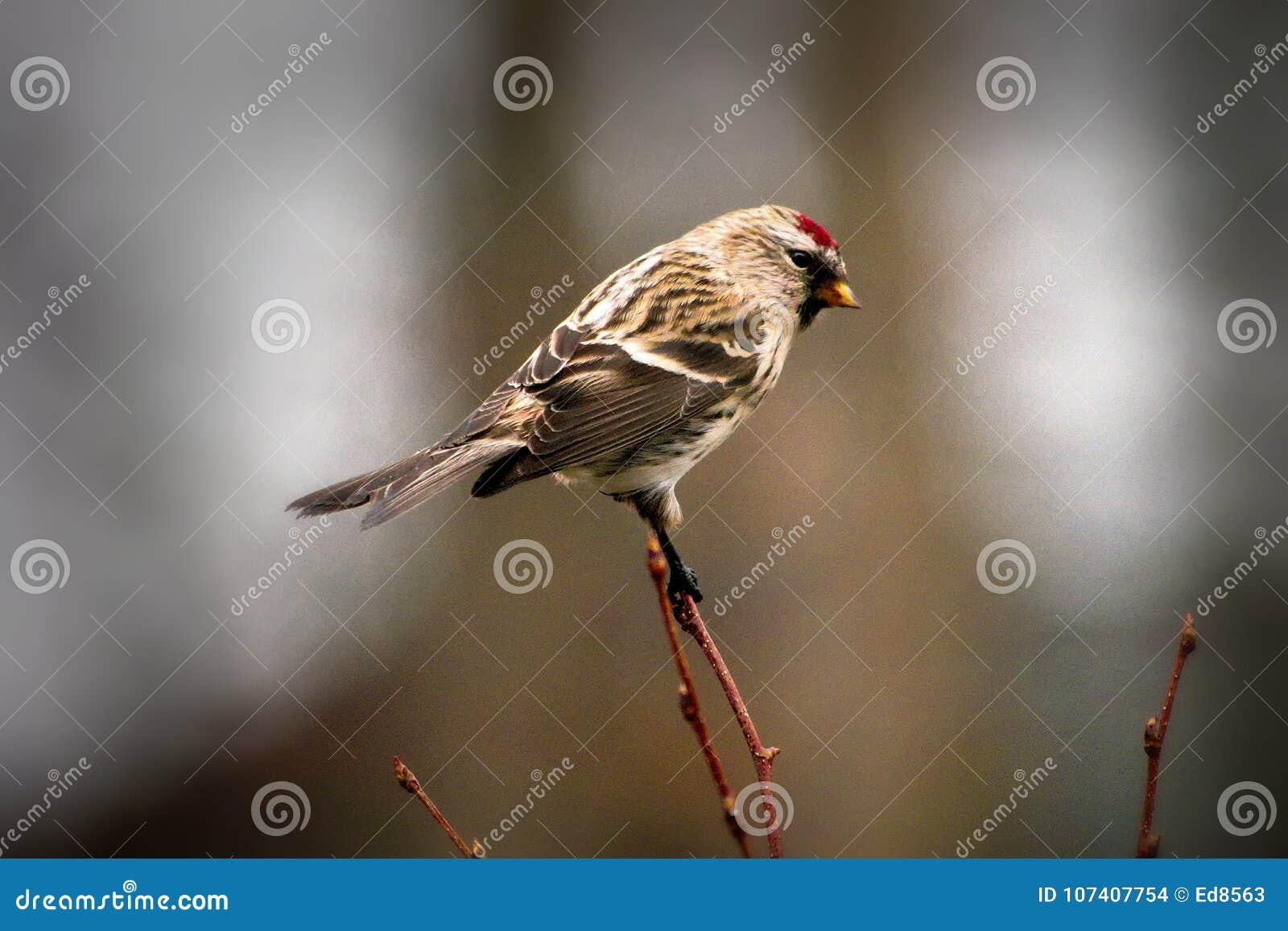 El pájaro común del Redpoll se encaramó en la ramita que hacía frente a la derecha