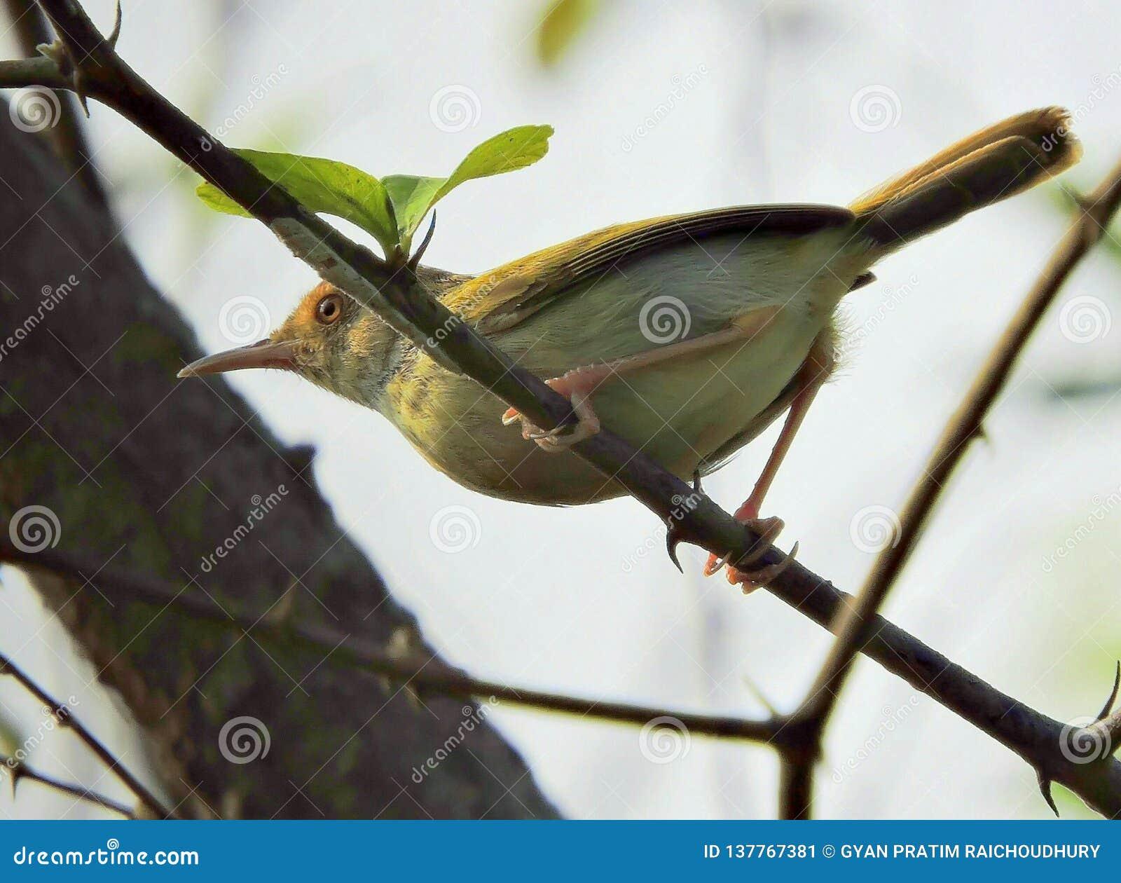 El pájaro común del sastre