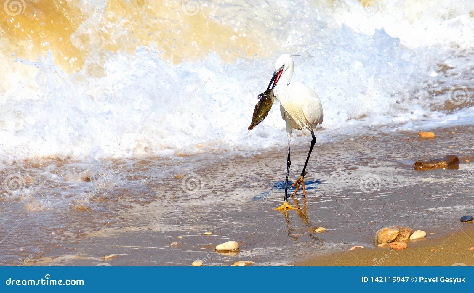El pájaro de la grúa cogió un pescado grande en una costa