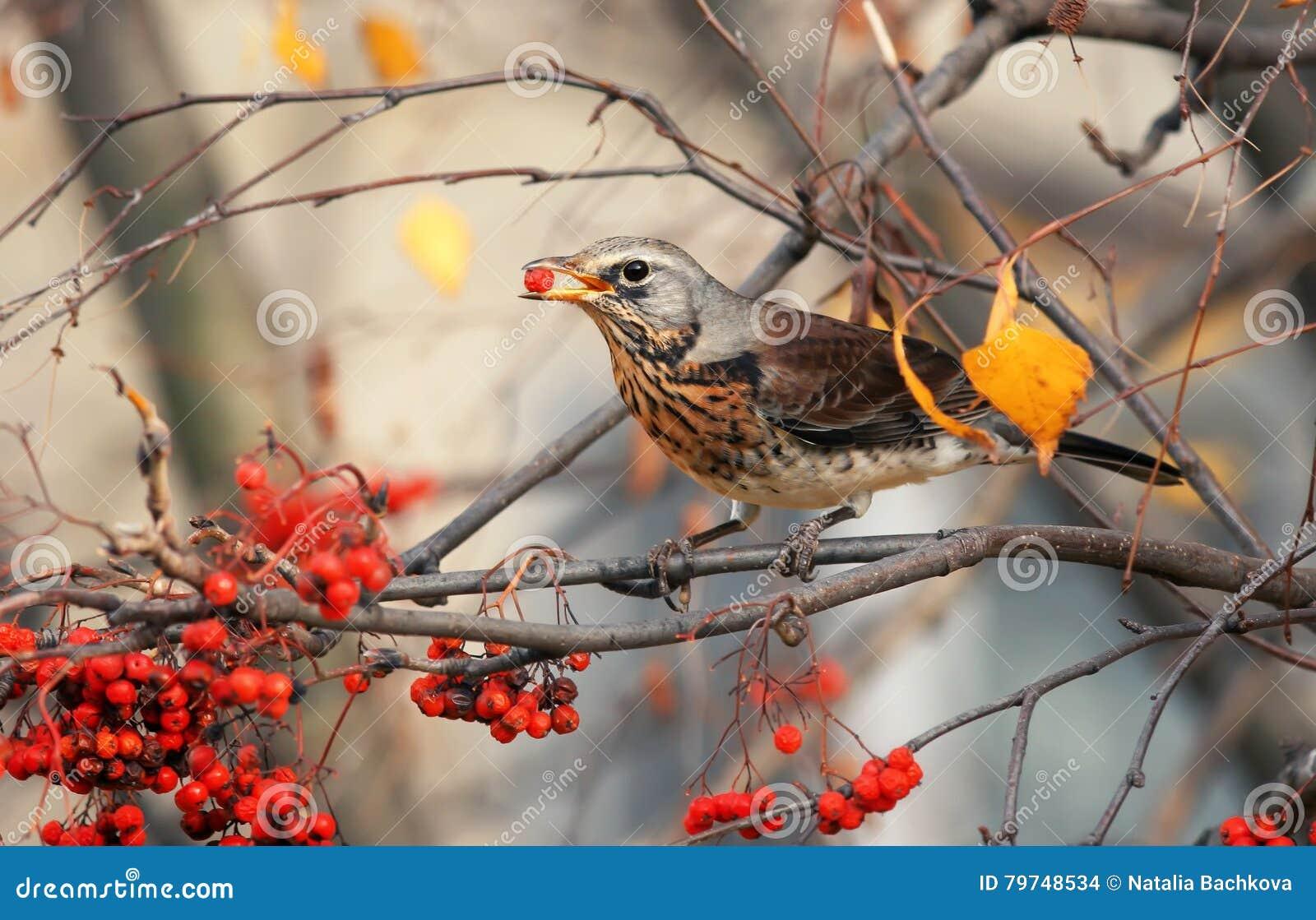 El pájaro del tordo come las bayas de serbal rojas dulces en otoño