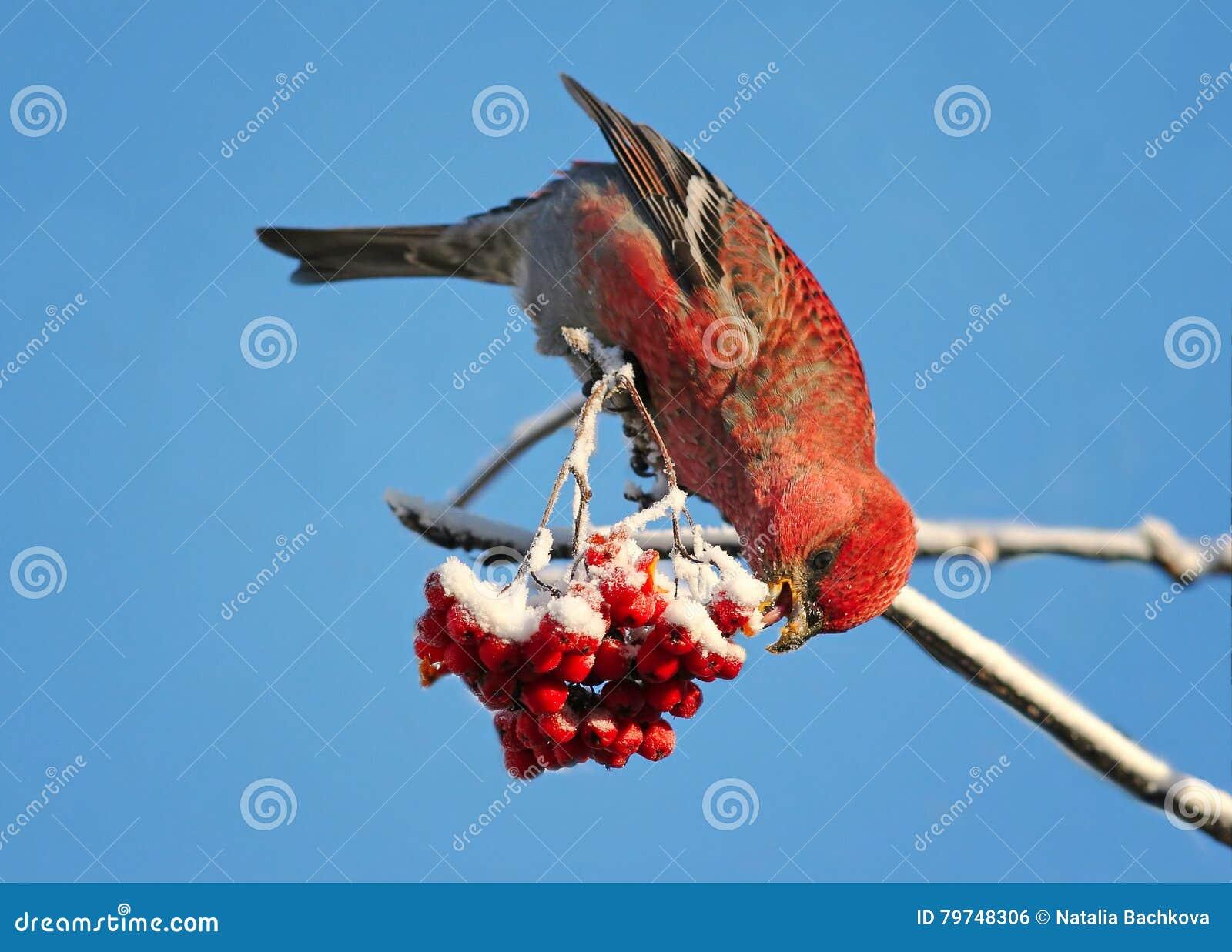 El pájaro está comiendo bayas de un serbal congeladas rojas en parque del invierno