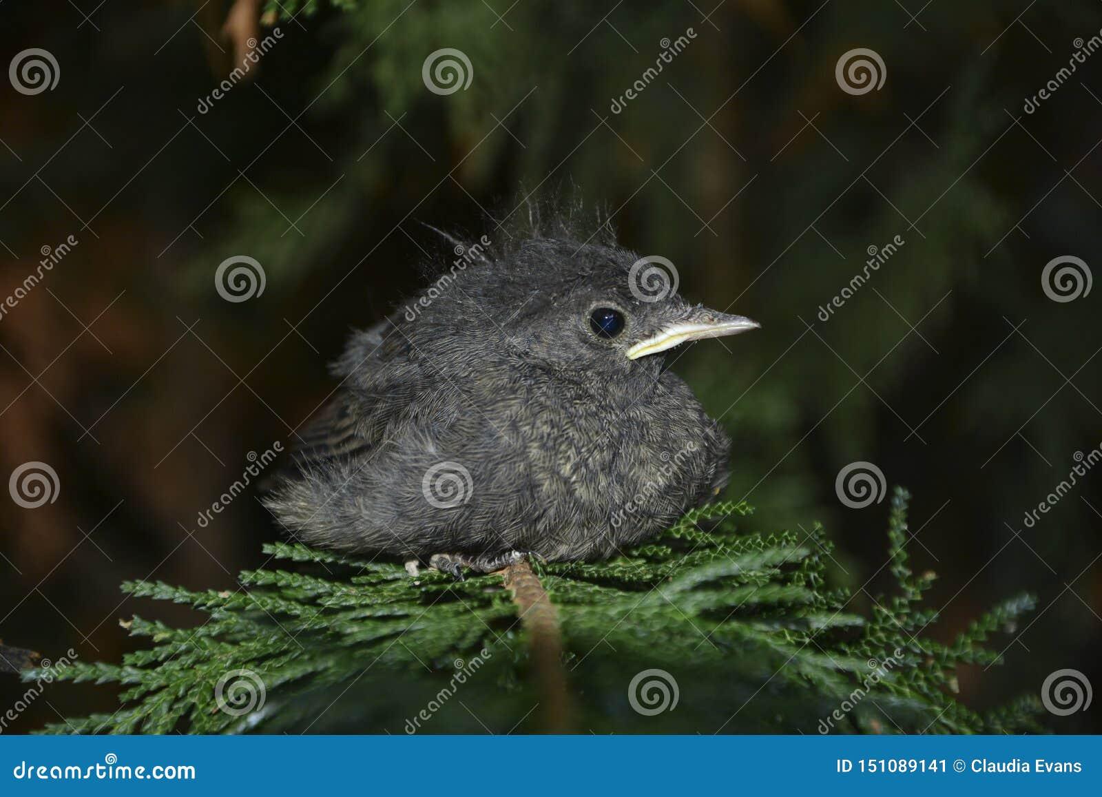 El pájaro joven negro de Redstart se sienta del lado en rama en un seto