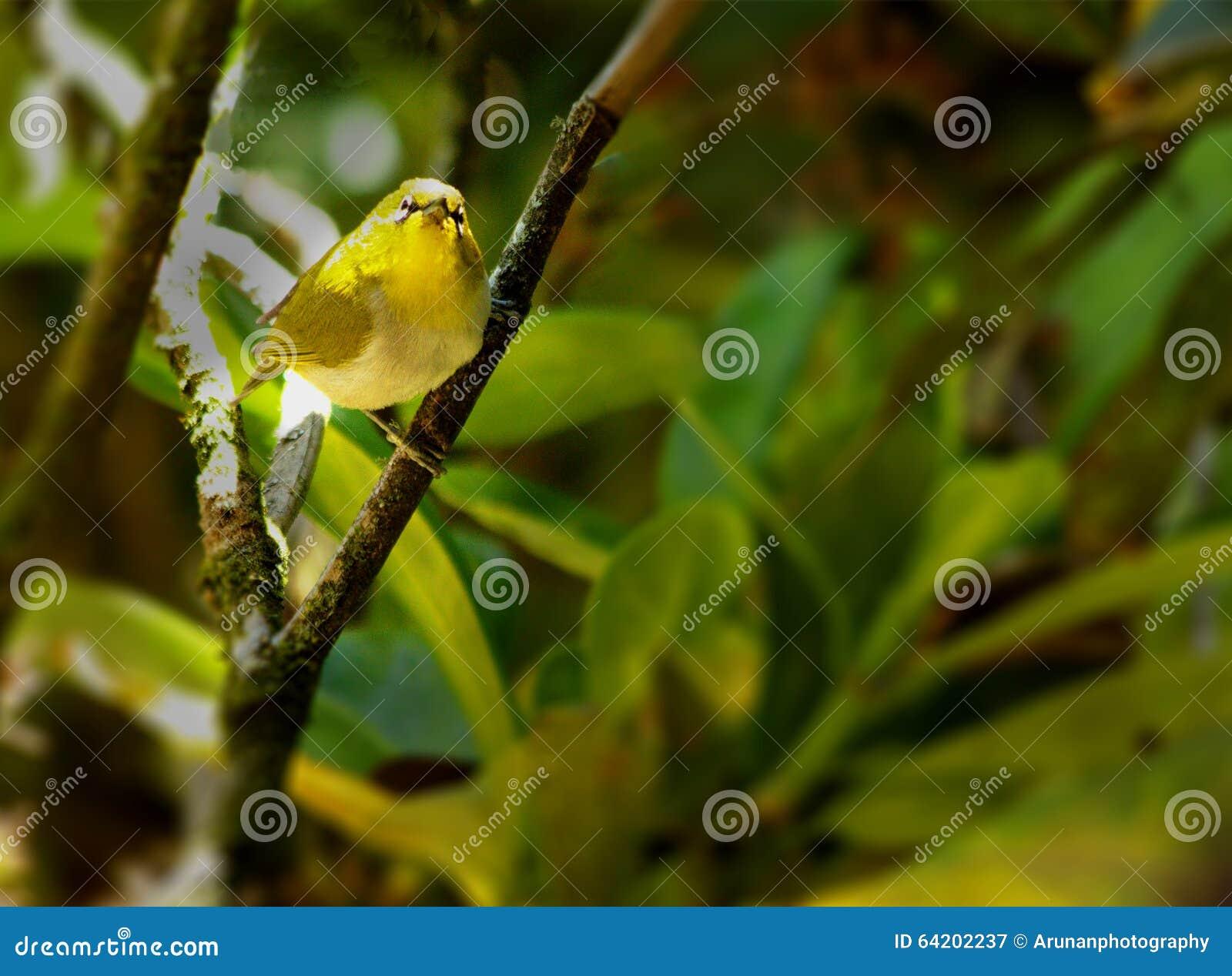 El pájaro oriental del blanco-ojo