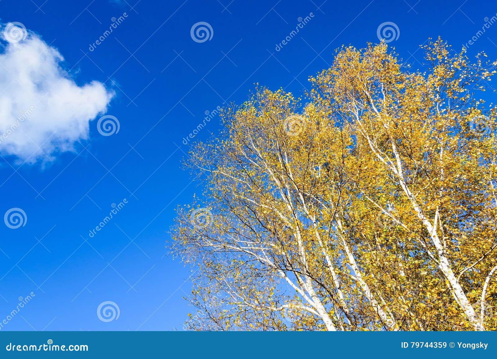 El paisaje del otoño del abedul blanco