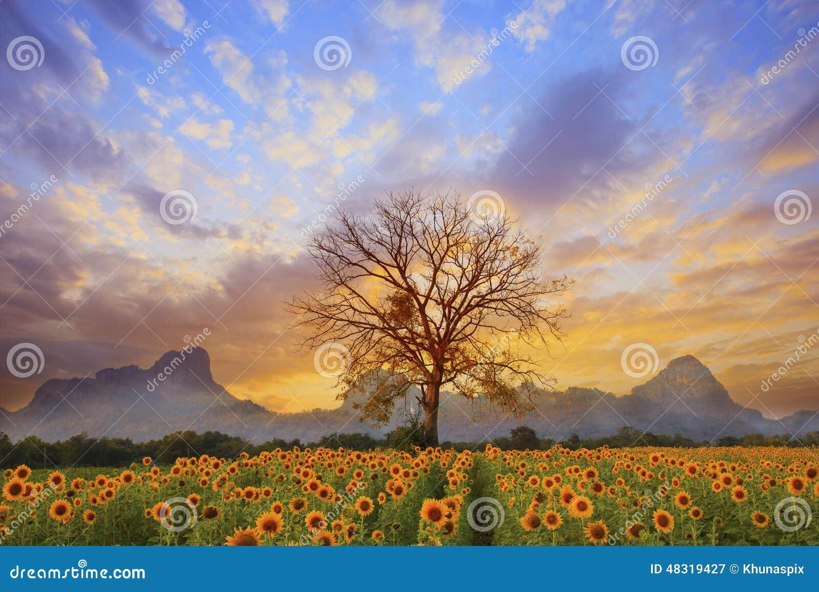 El paisaje hermoso de la rama de árbol seca y el campo de flores del sol contra el cielo oscuro de la tarde colorida utilizan com