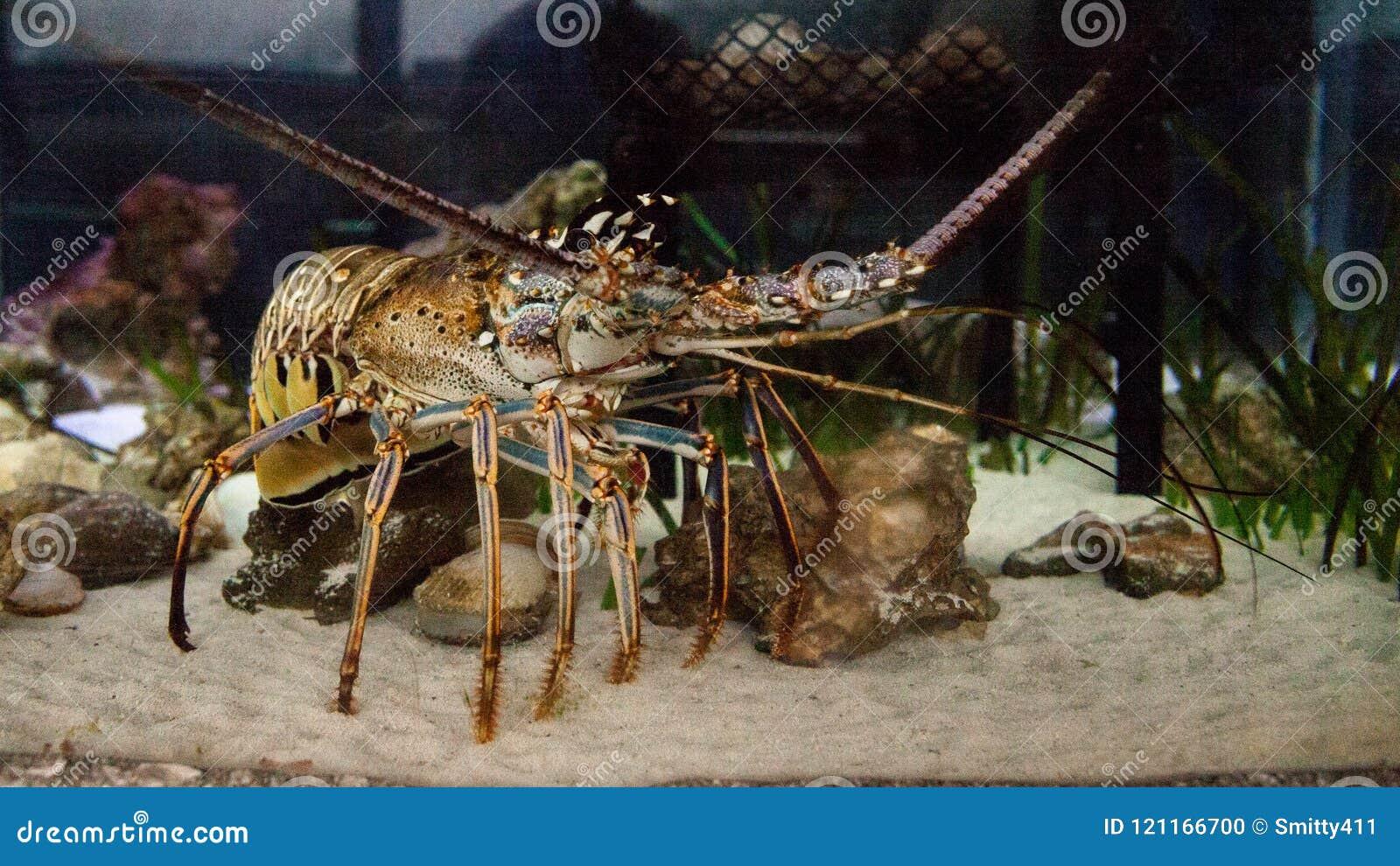 El Palinuridae también llamado espinoso de la langosta de roca de la langosta forrajea