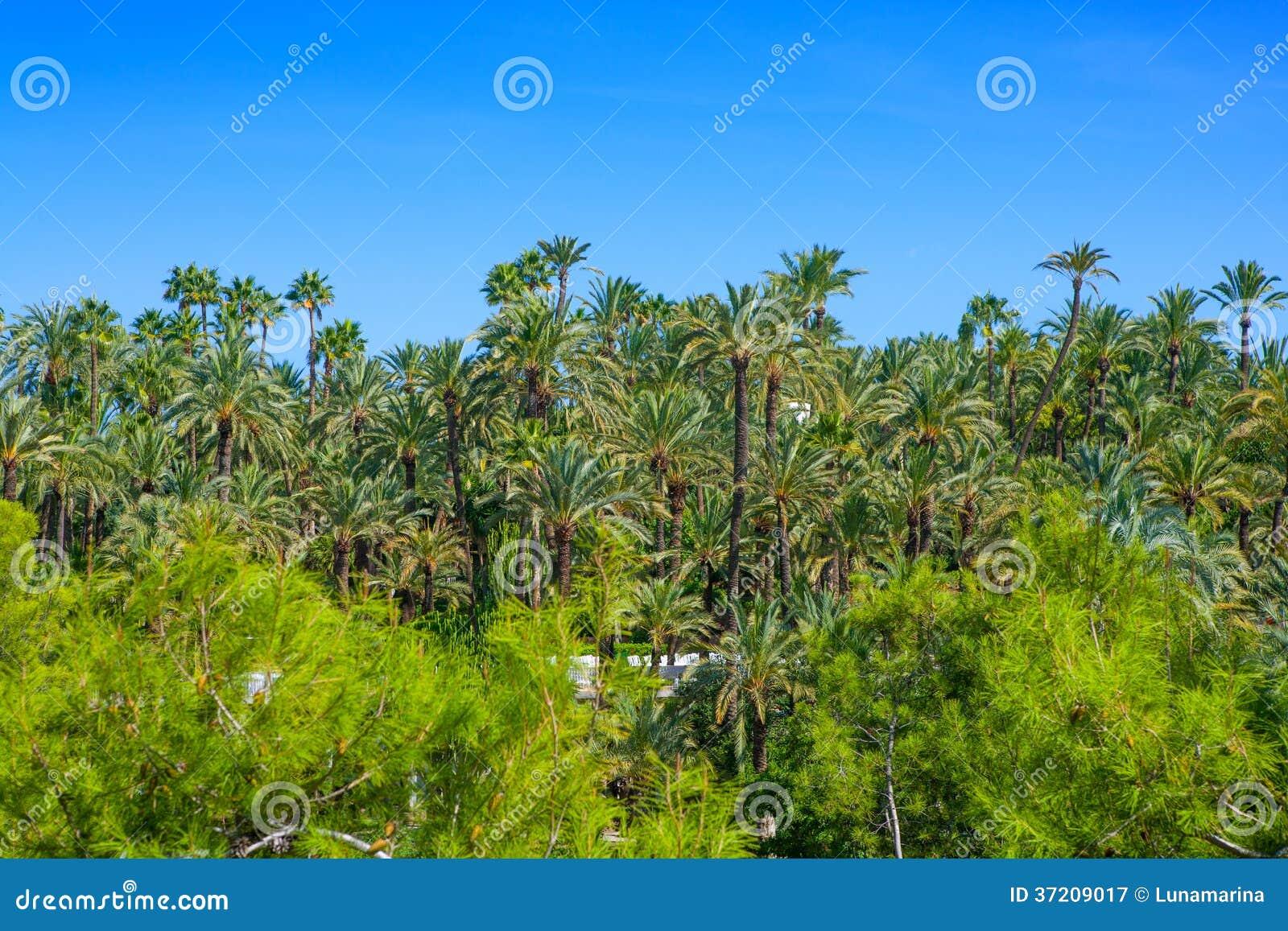 EL Palmeral d Elche Elx Alicante avec beaucoup de palmiers