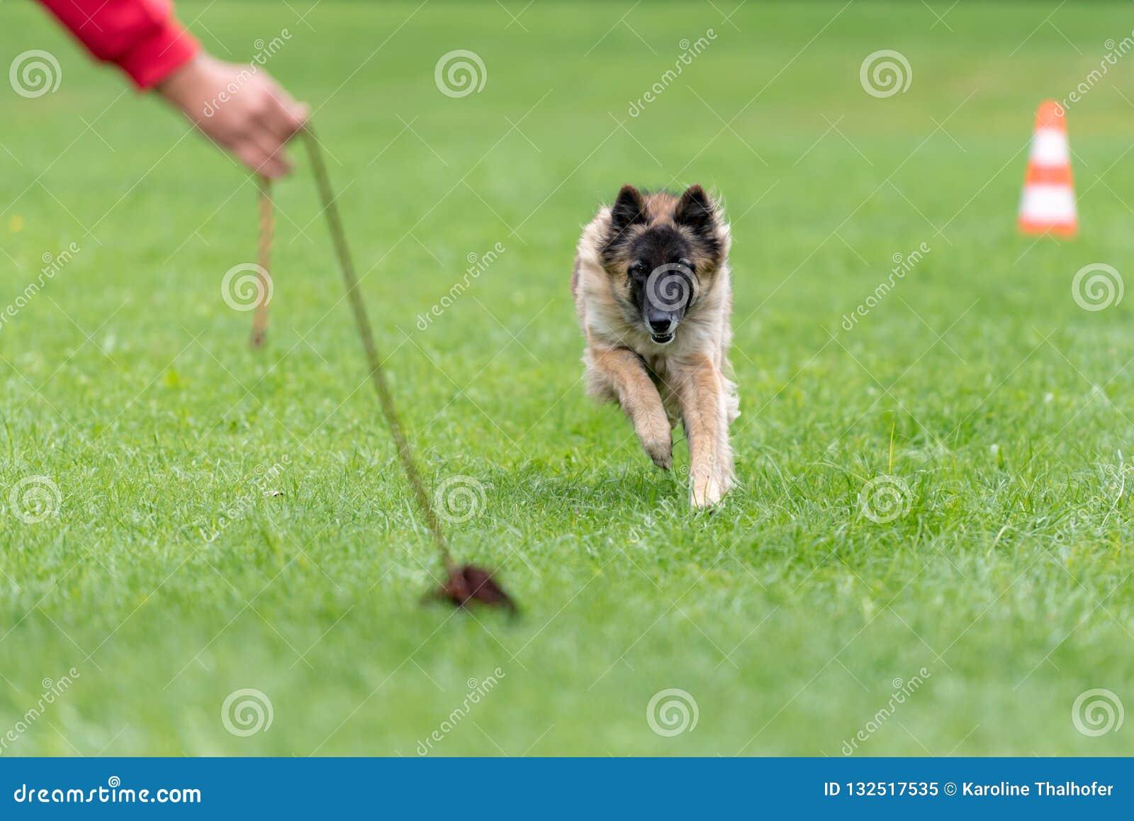El pastor está jugando en el entrenamiento con su instructor