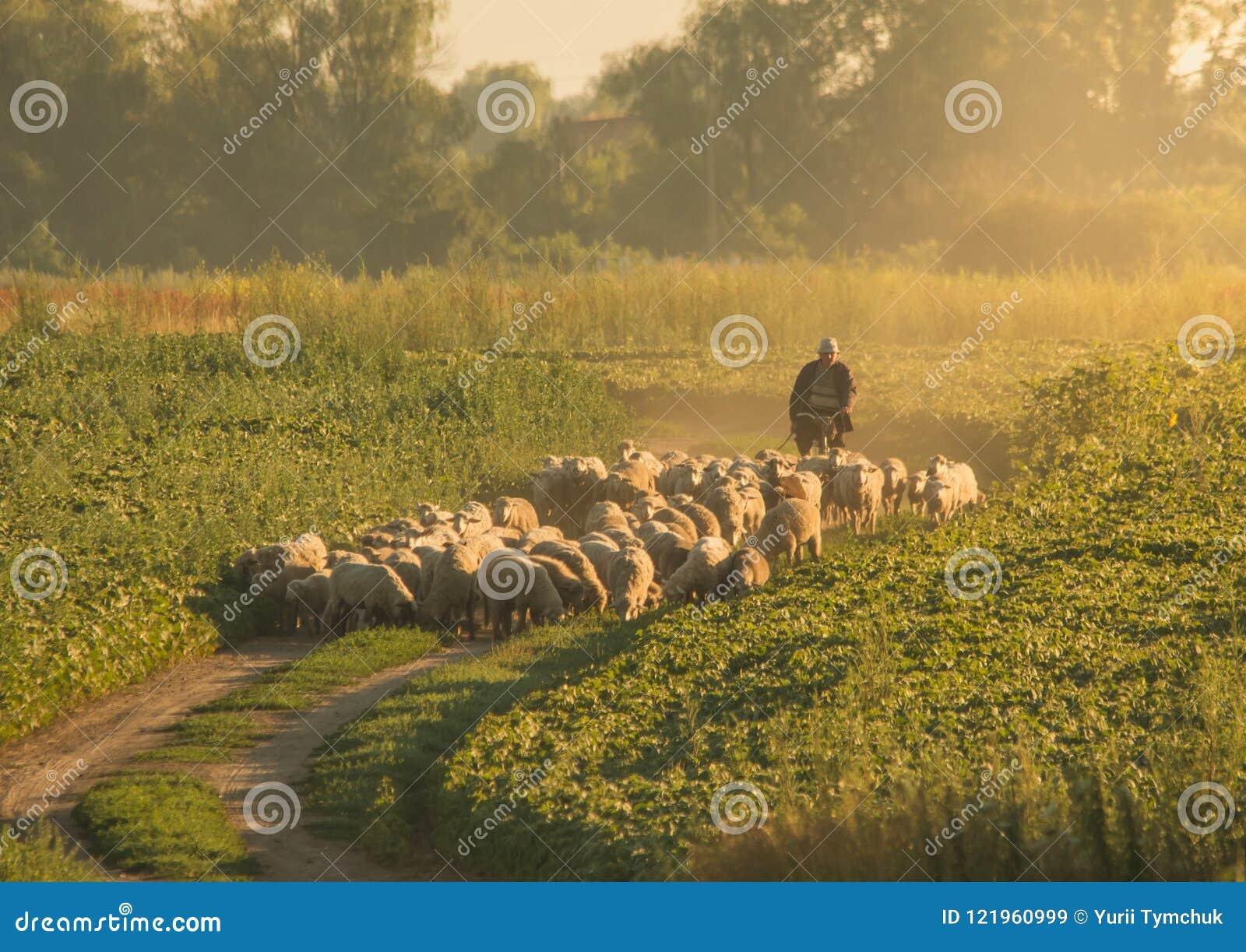 El pastor lleva una manada de ovejas