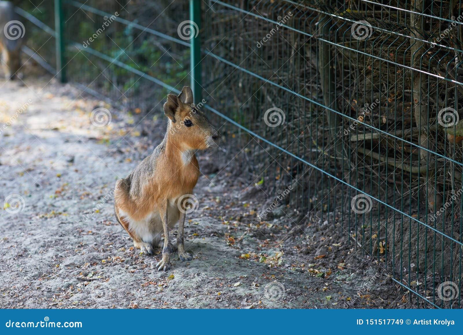 El patagonum patag?n del Dolichotis de Mara es un roedor relativamente grande en el g?nero Dolichotis de Mara