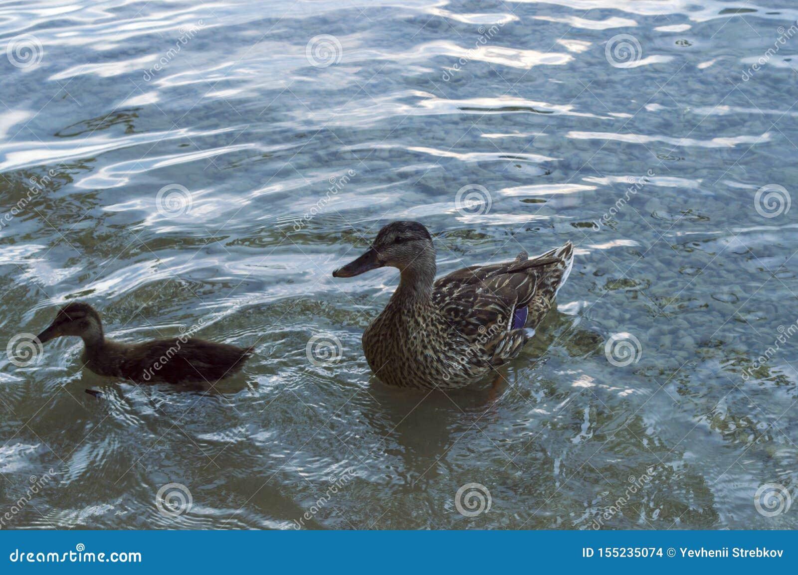 El pato nada en un lago limpio de la montaña