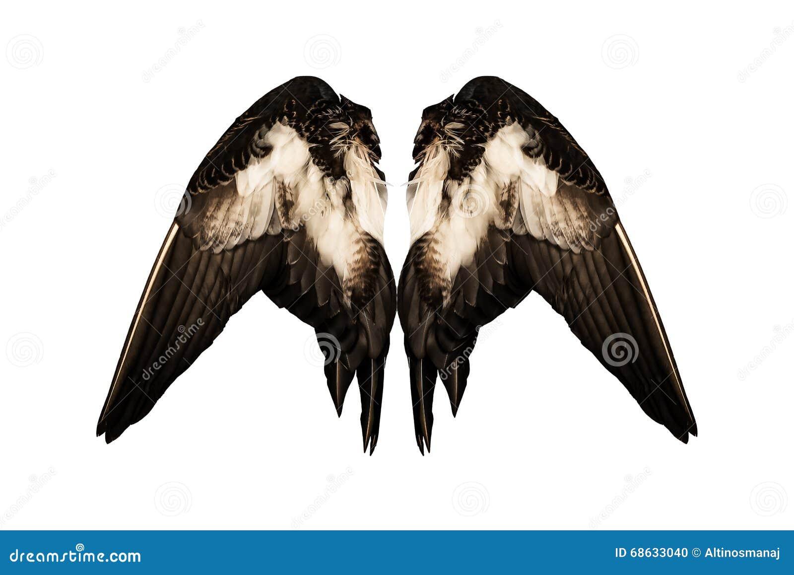 El pato real acortado se va volando en ángel trasero aislado el fondo blanco dos pares