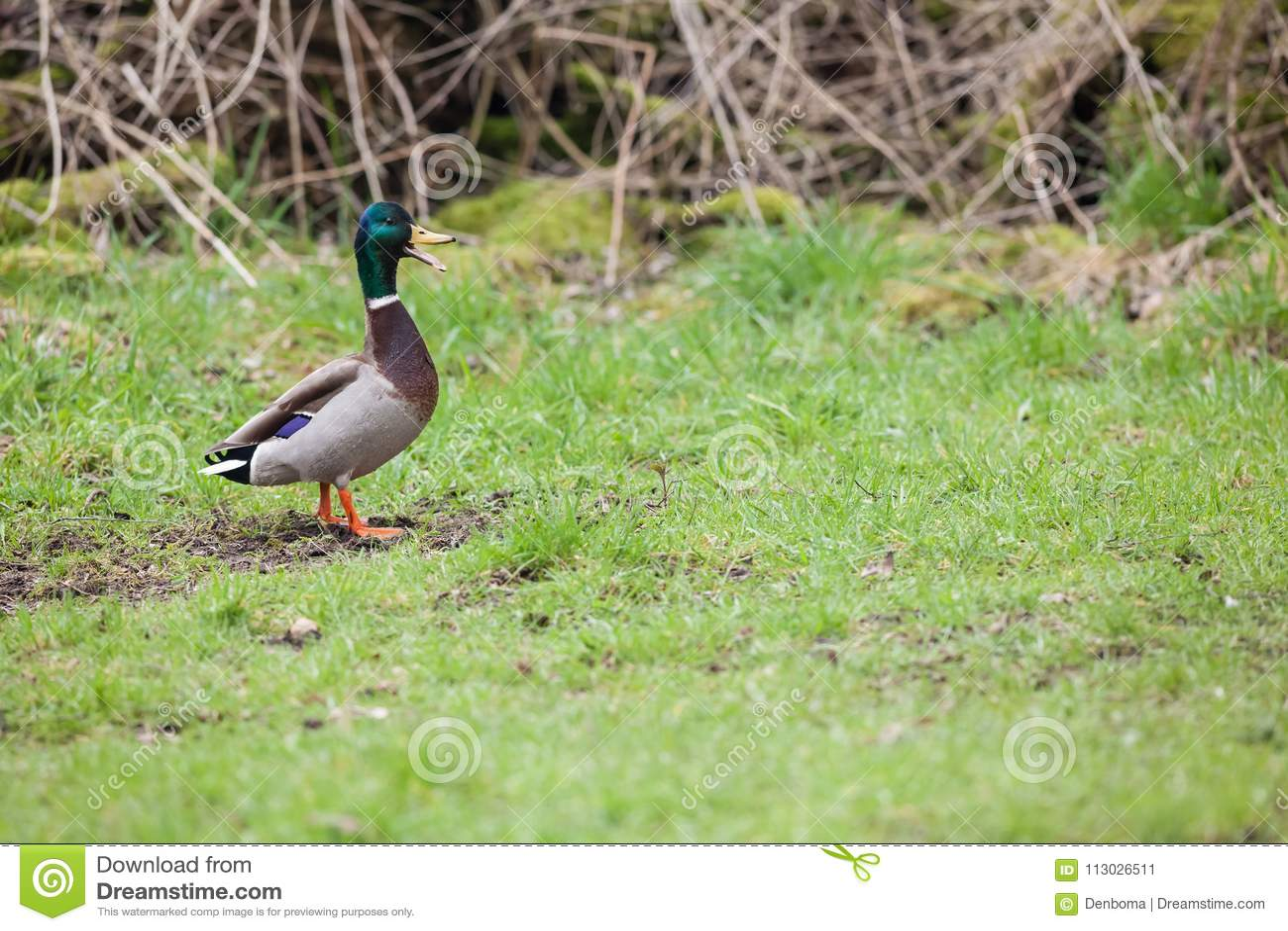 El pato salvaje