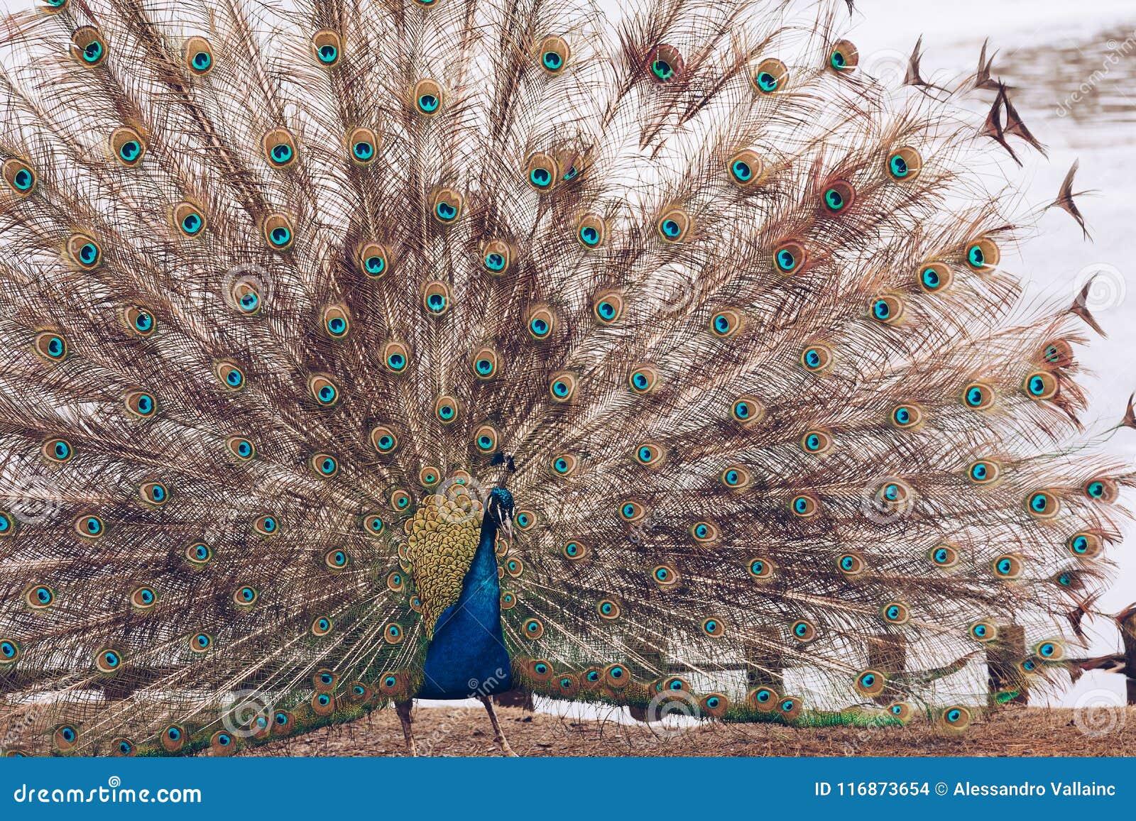 El pavo real en Lazienki o los baños reales parquea en Varsovia en Polonia