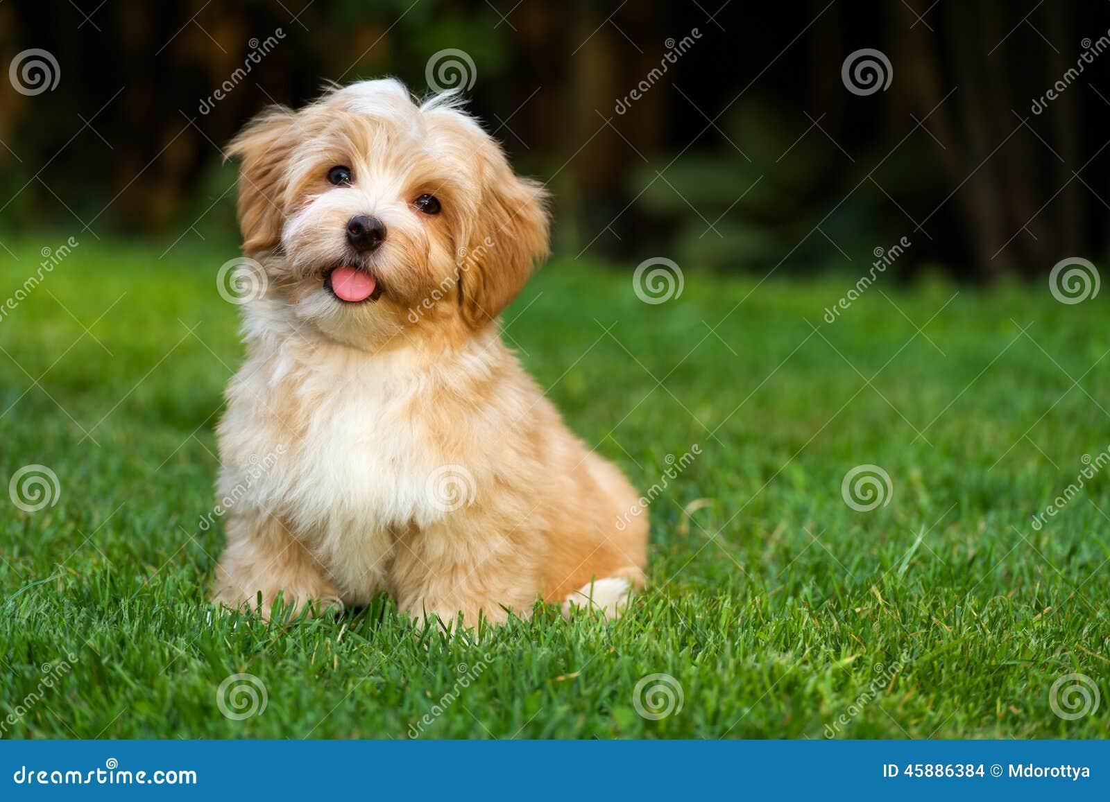 El pequeño perrito havanese feliz se está sentando en la hierba